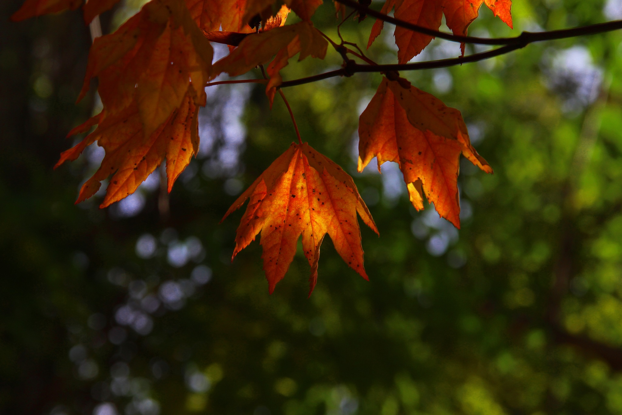 Fall Leaves Series 2017 1  by christena.anderson