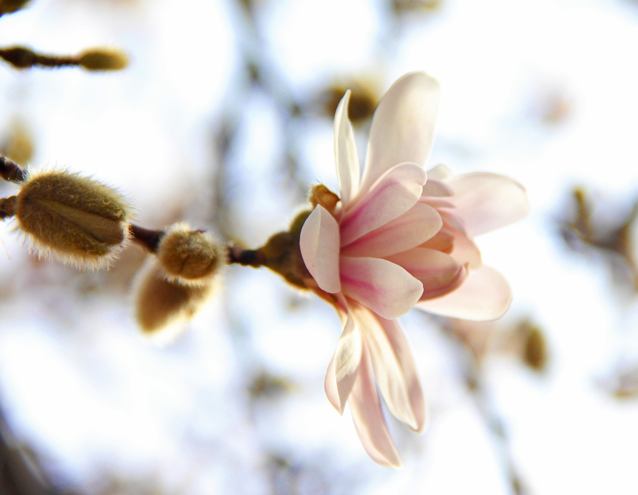 Magnolia 4 by christena.anderson