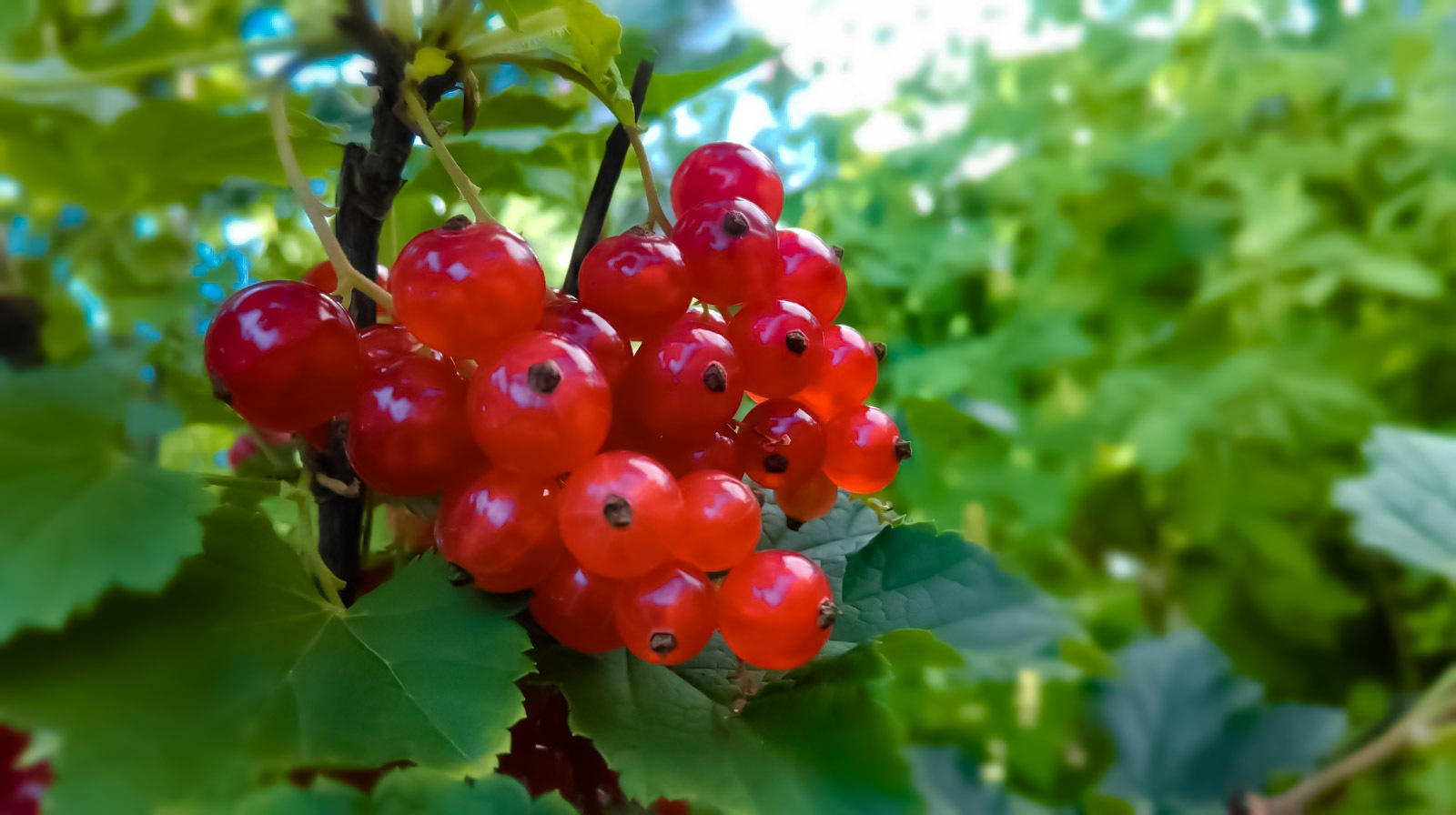 Red currant by Monika Oko