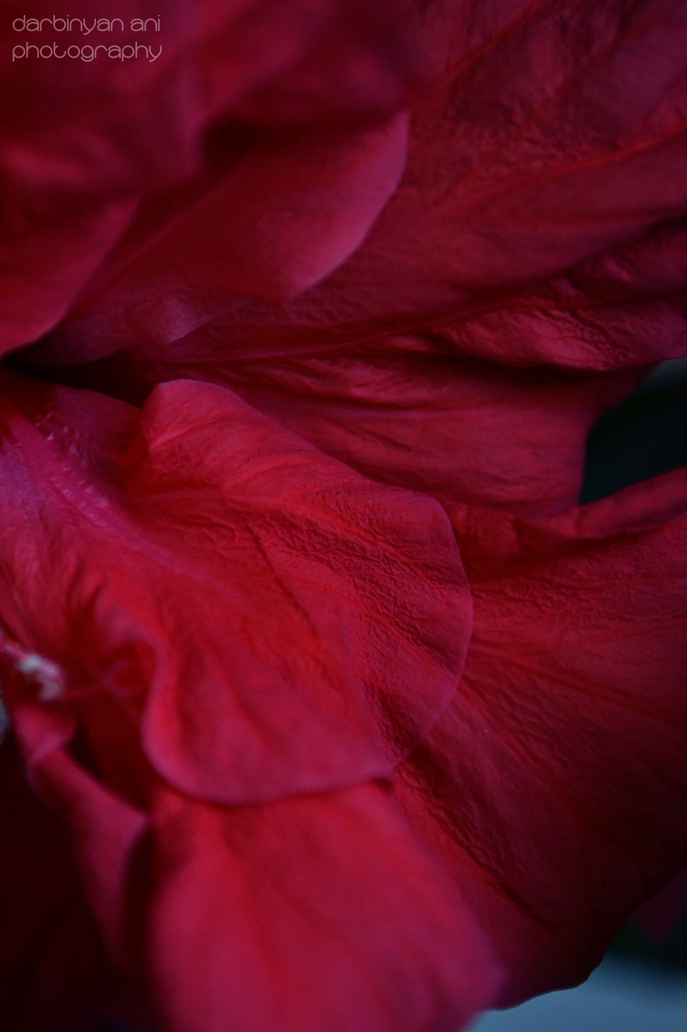 Red flower by ani darbinyan