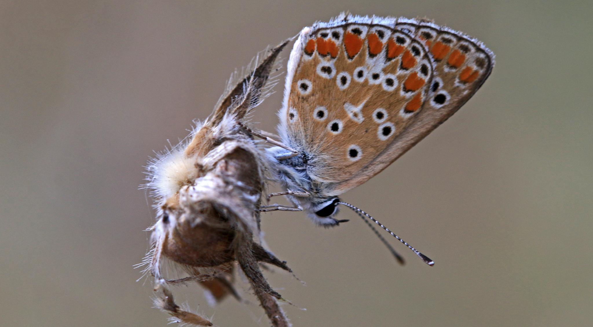 Brown argus by jason.fisher.98499