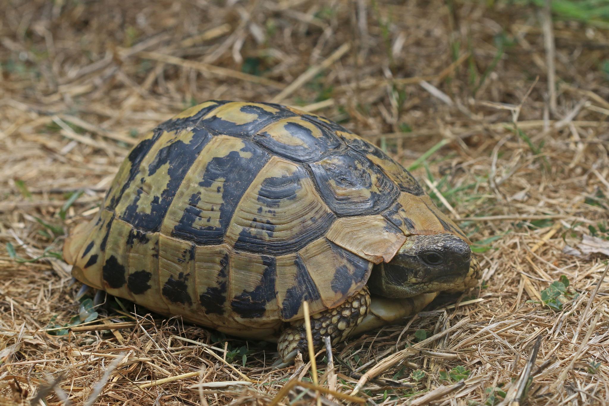 wild herrmans tortoise by jason.fisher.98499