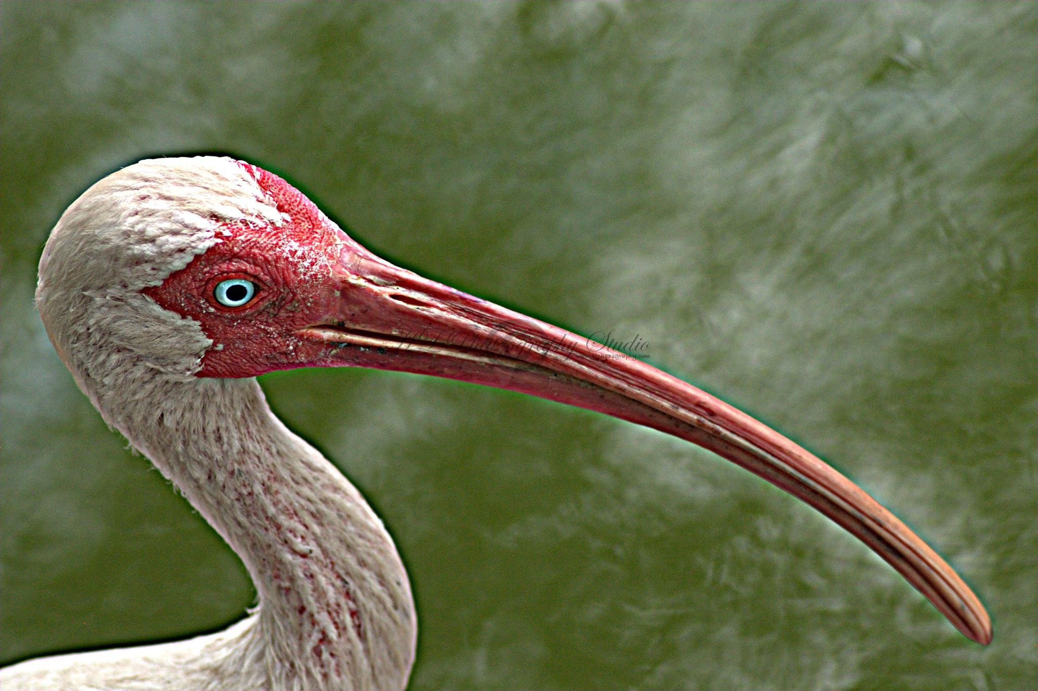 Ibis by Hector L. Ortiz Sr.