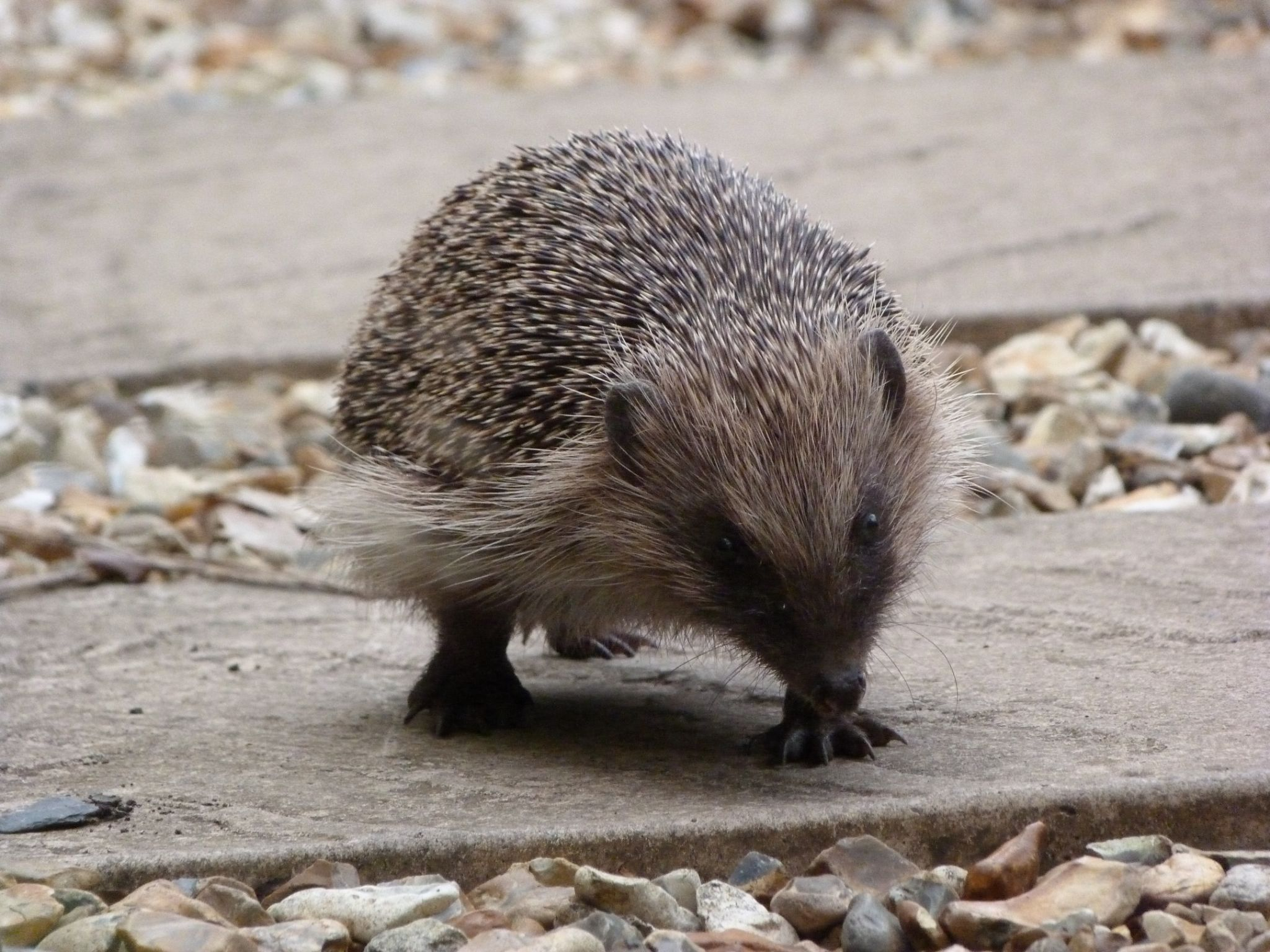 Hedgehog Walking up the Garden Path by stevecocking