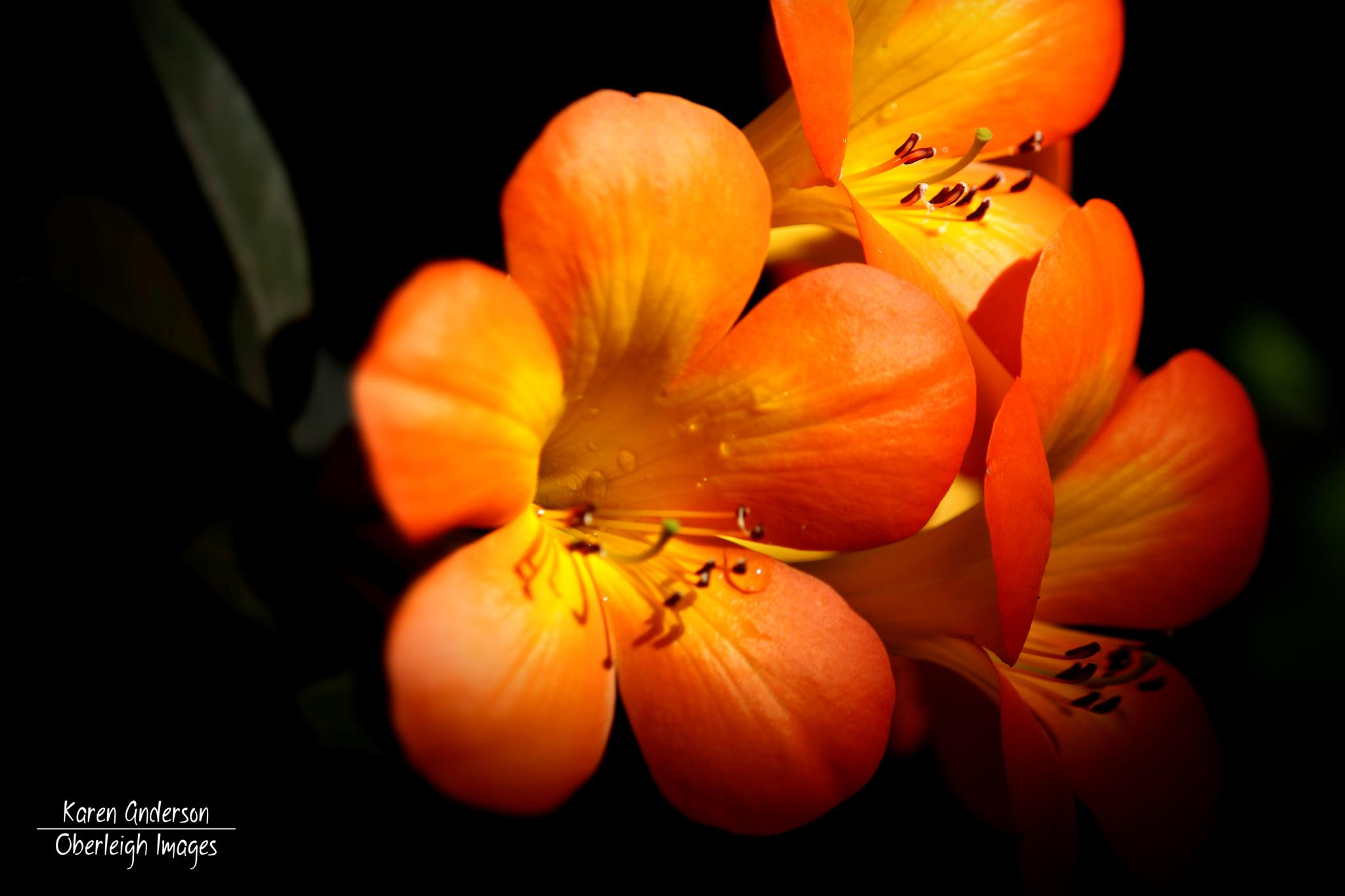 Orange Blossoms by Karen Anderson
