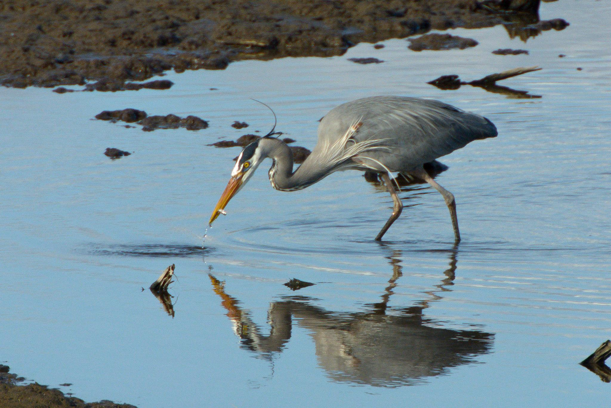 Blue Heron having a snack by Jeff Tostenrude