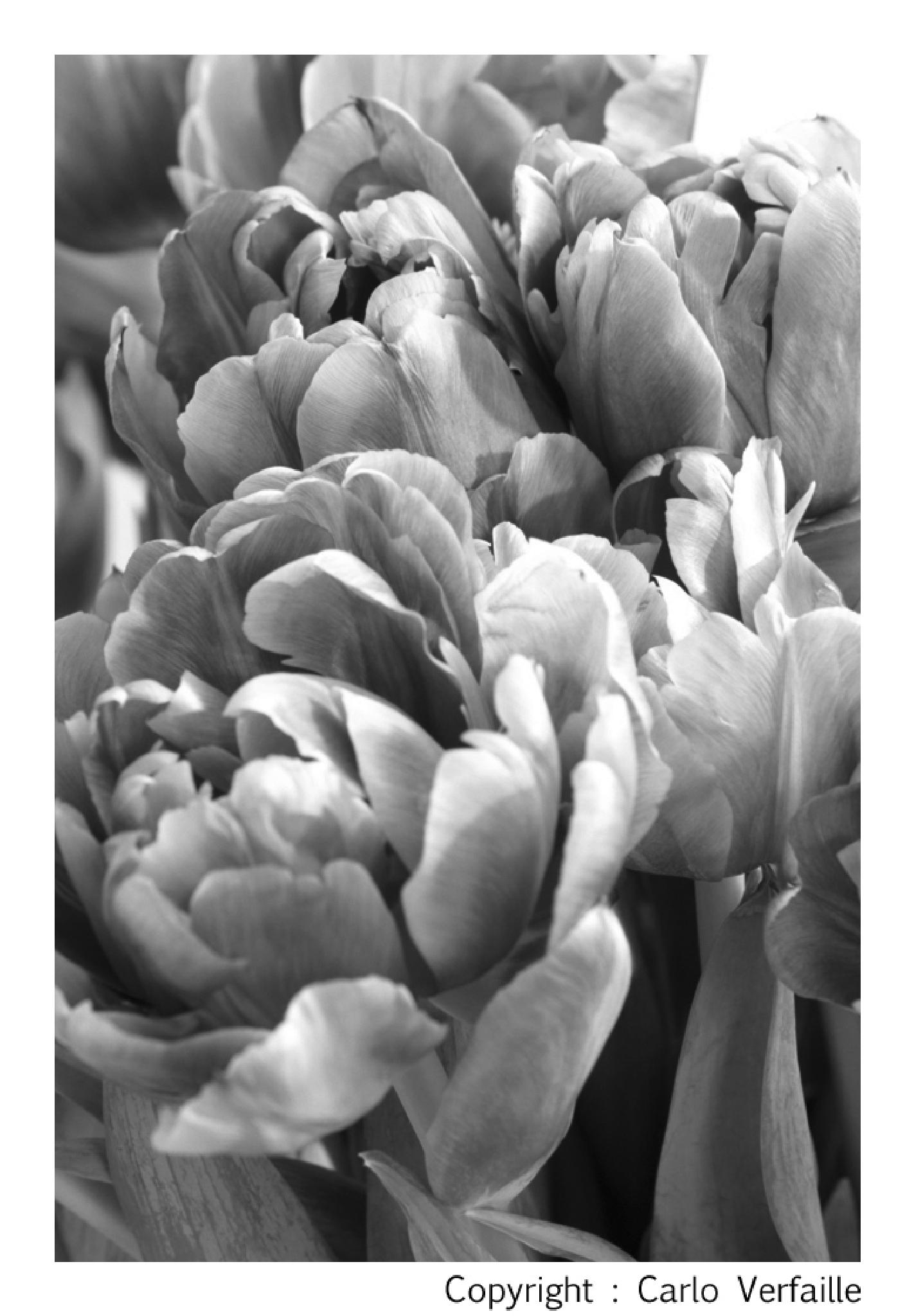 Tulips by carloverfaille