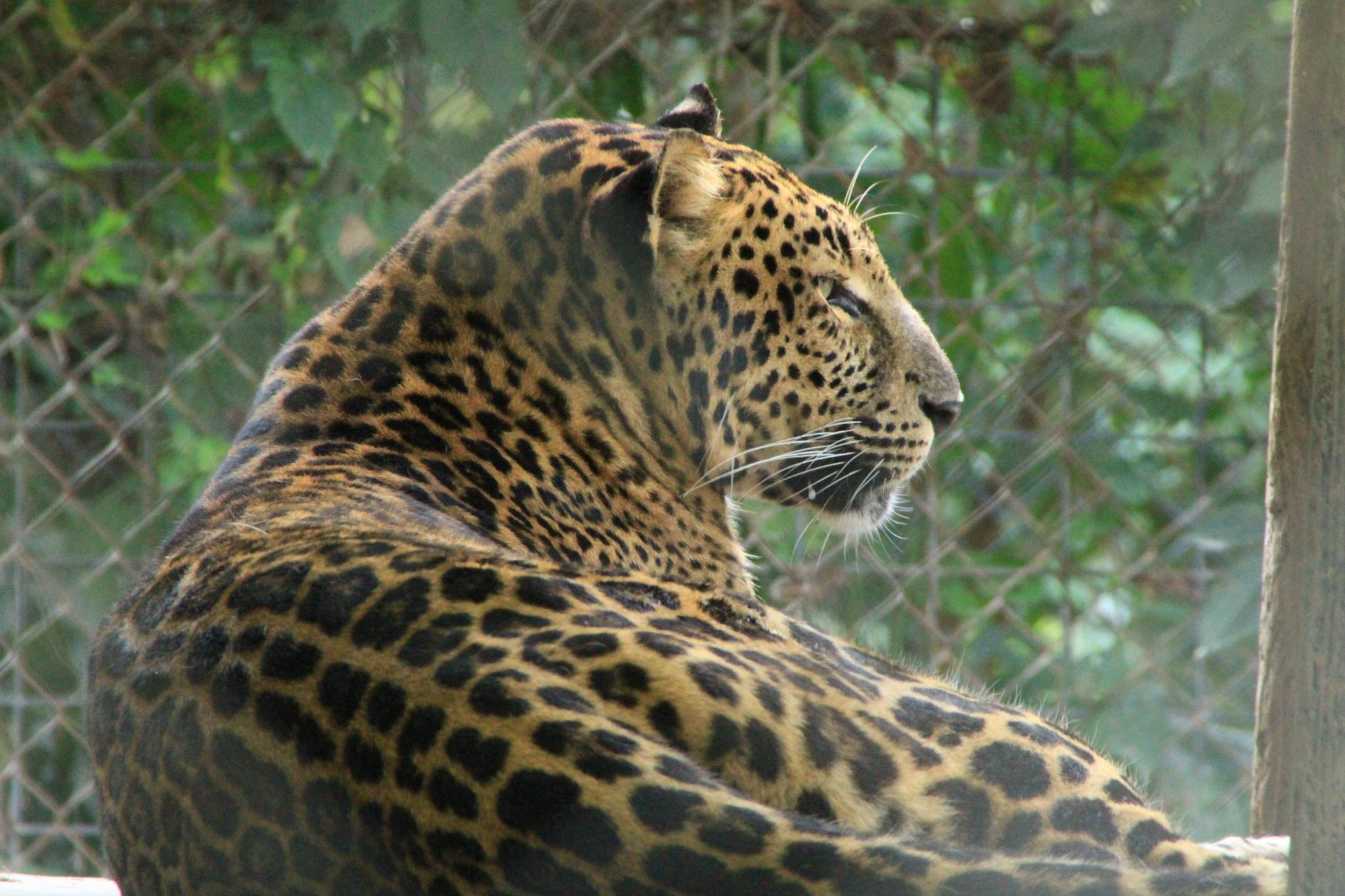 Leopard by robin.smith.3150