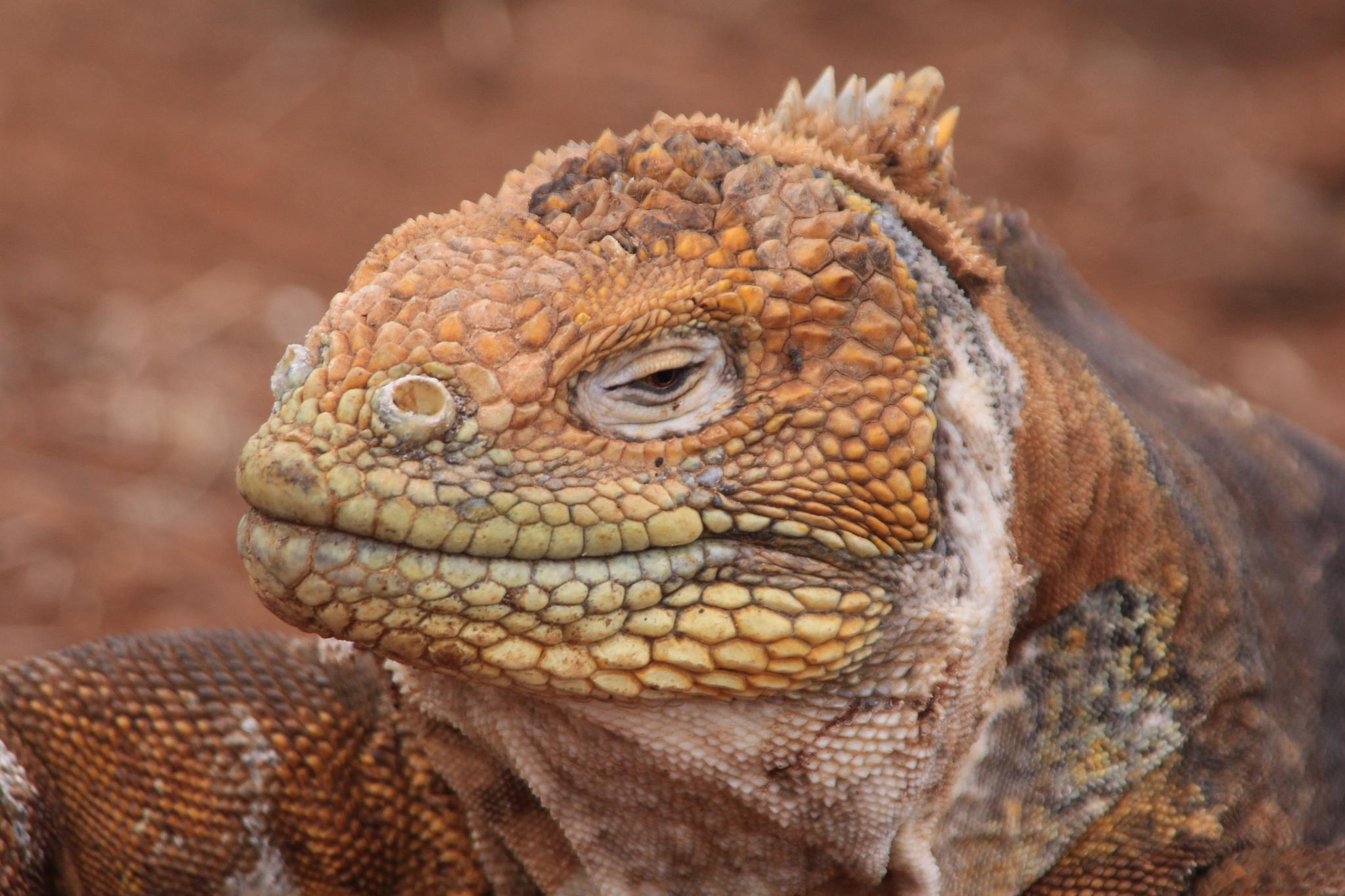 Land Iguana by robin.smith.3150