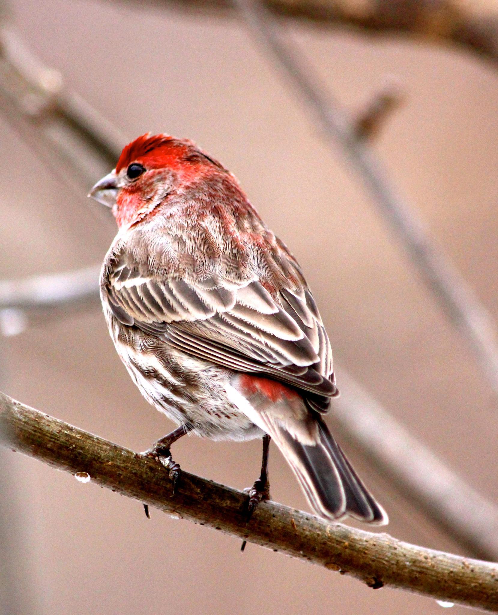Lil Red Bird by konrath_ds