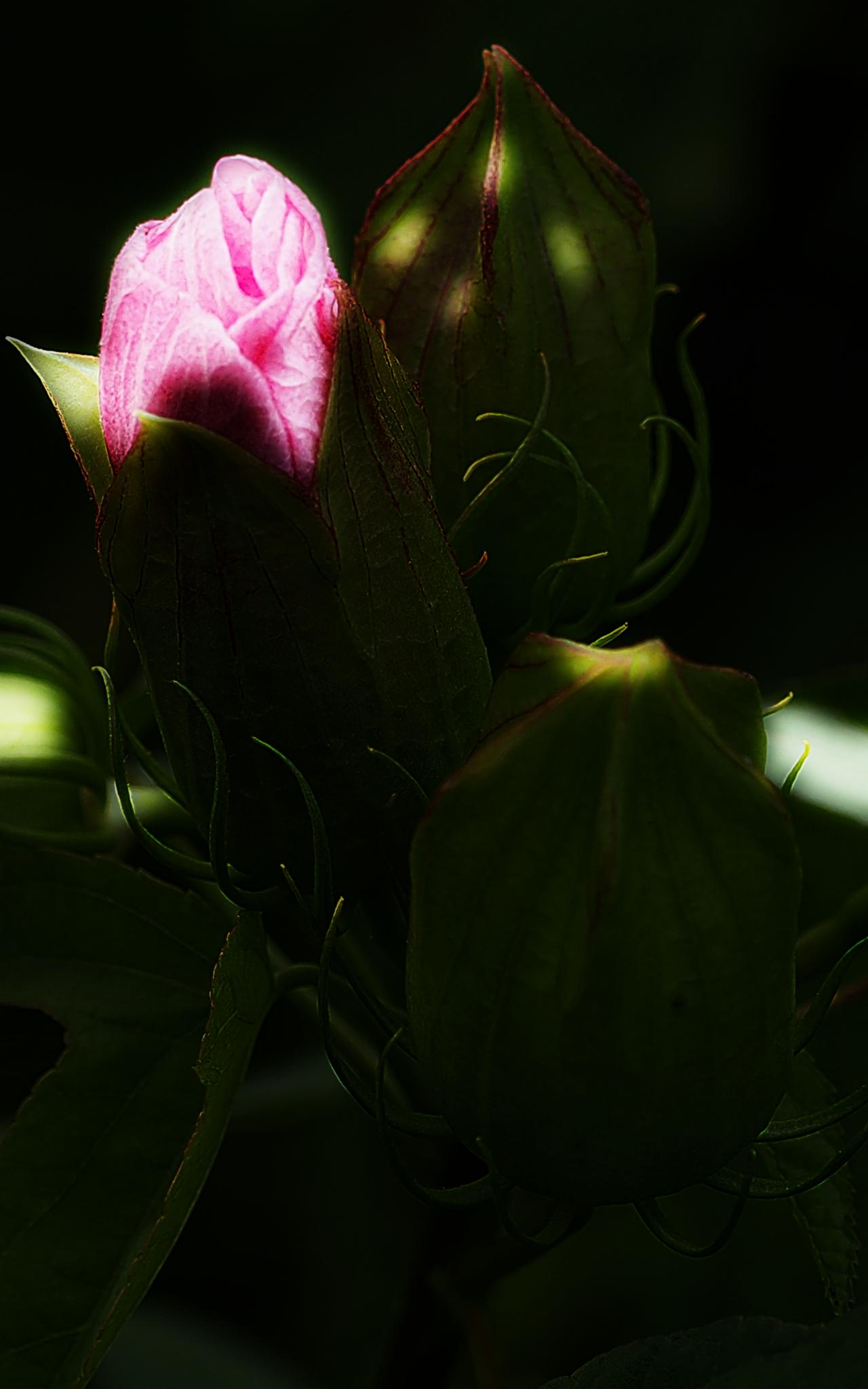 A PINK BUD REACHES FOR VITAL SUNLIGHT by David DeBord
