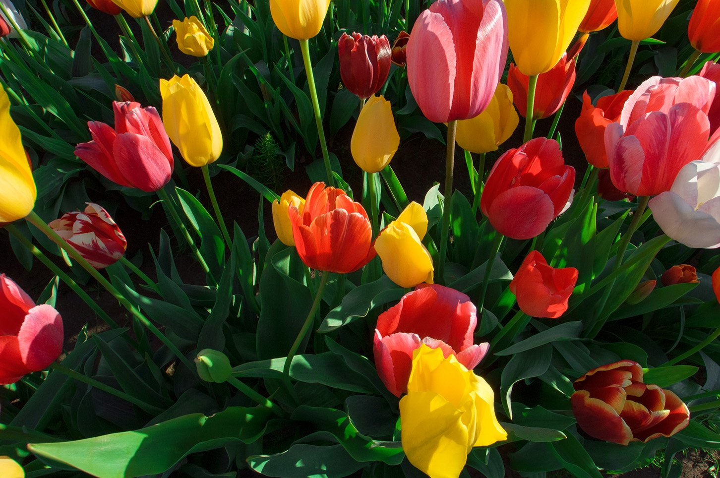 TULIPS by alexito.sate
