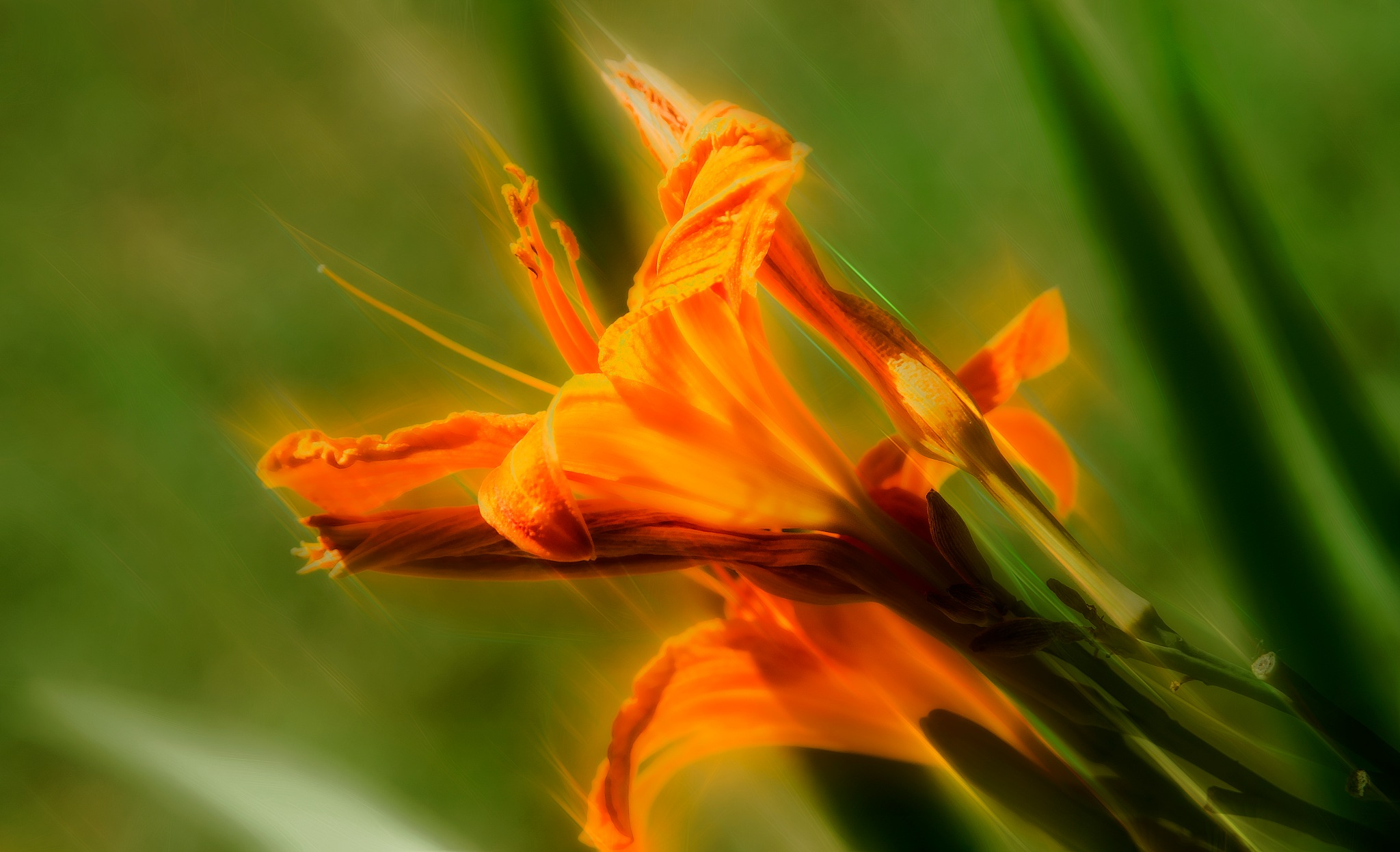 Hemerocallis.#160626DSC1634. by yucca9707
