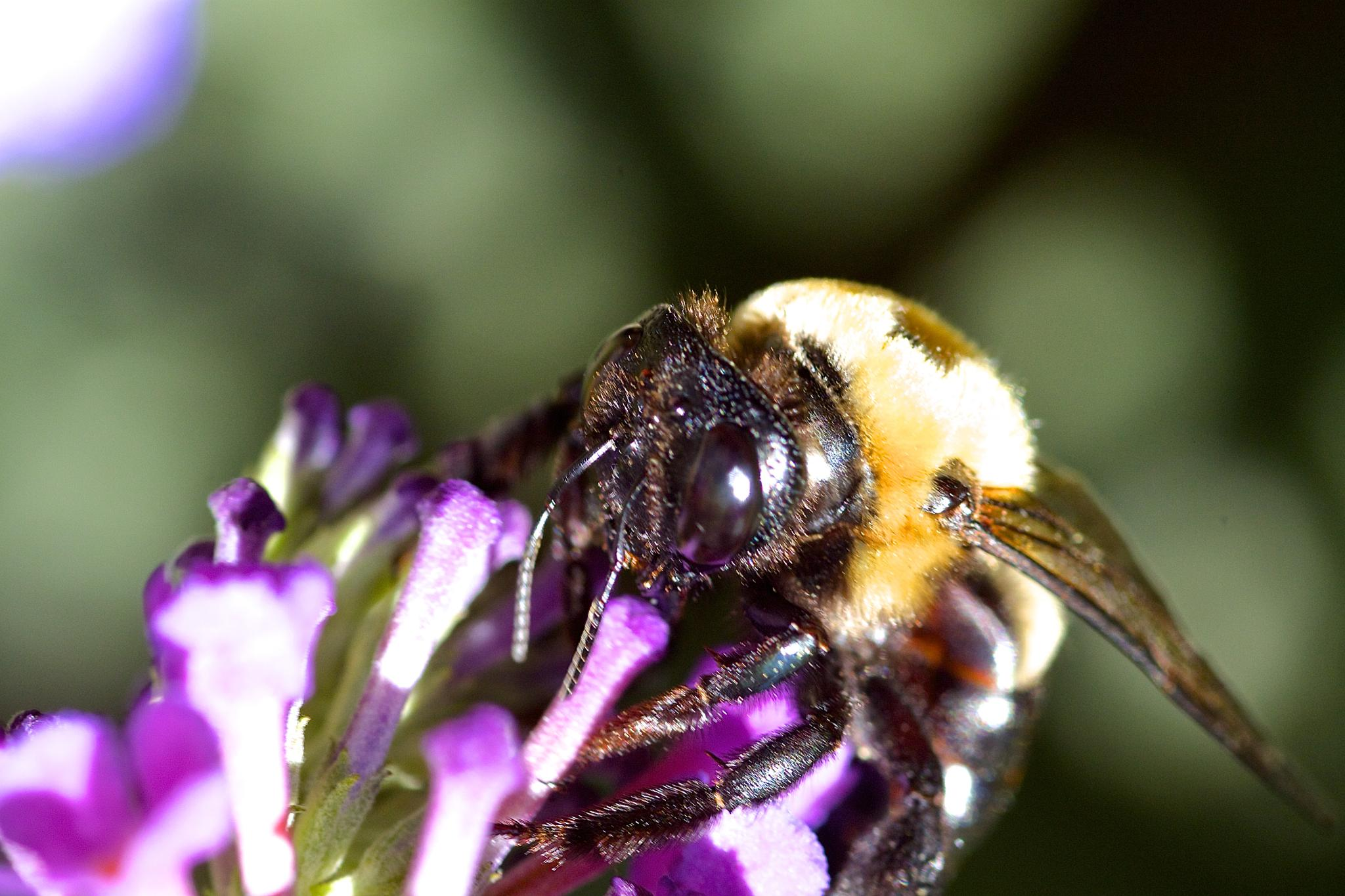 Bee by Ronwood777