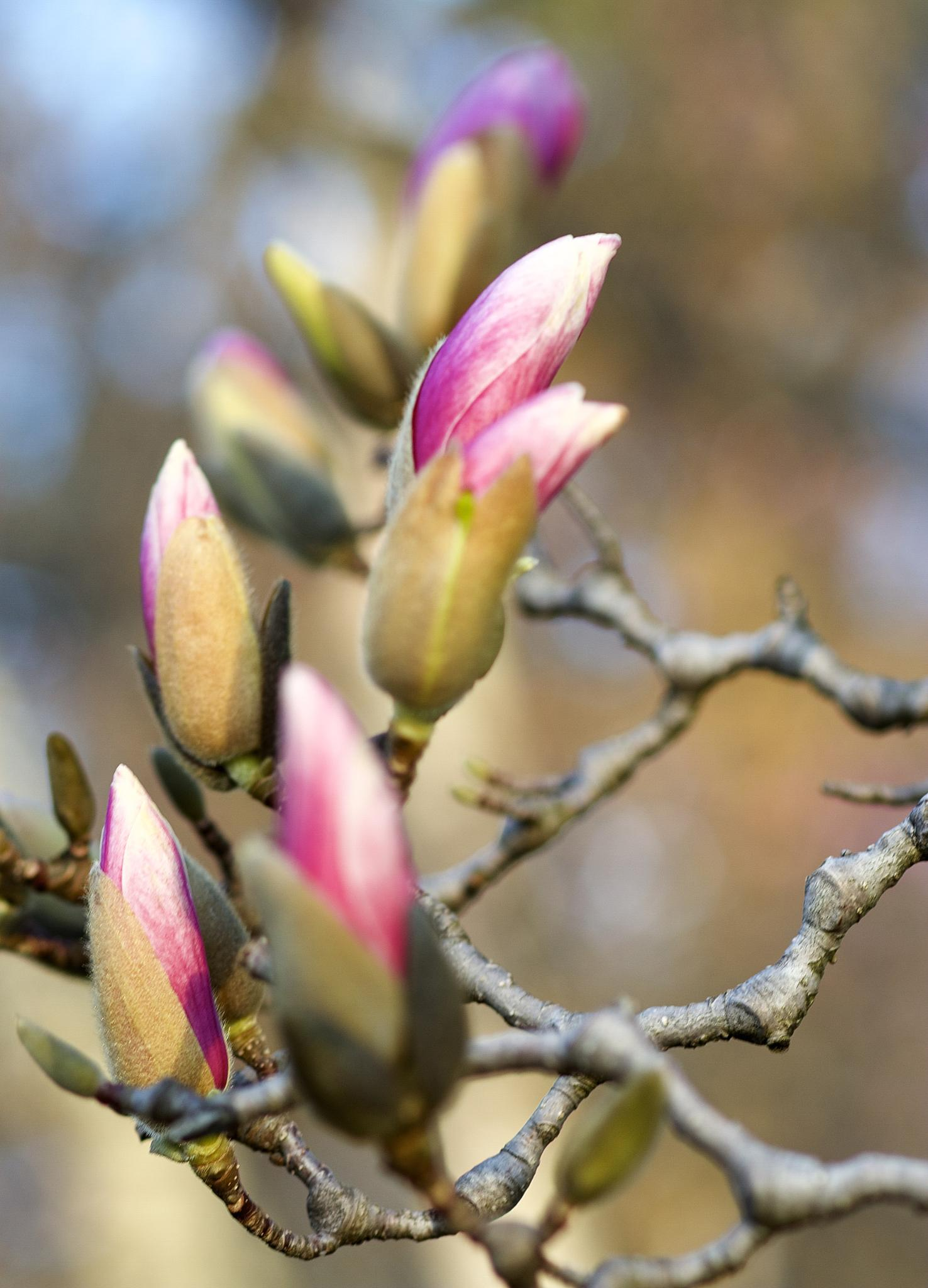 Magnolia buds bursting open... by Ronwood777