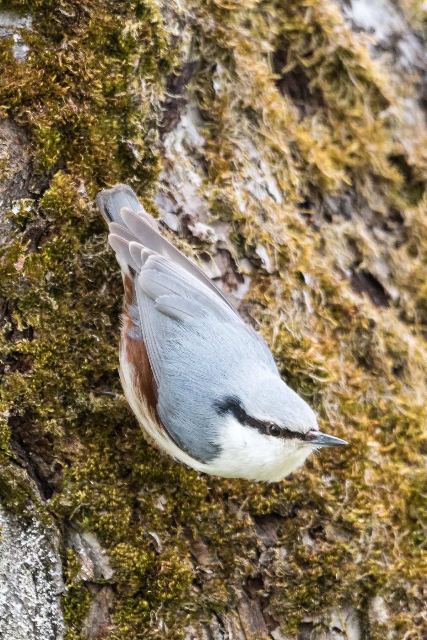 Photo in Animal #fågel #bird #nötväcka