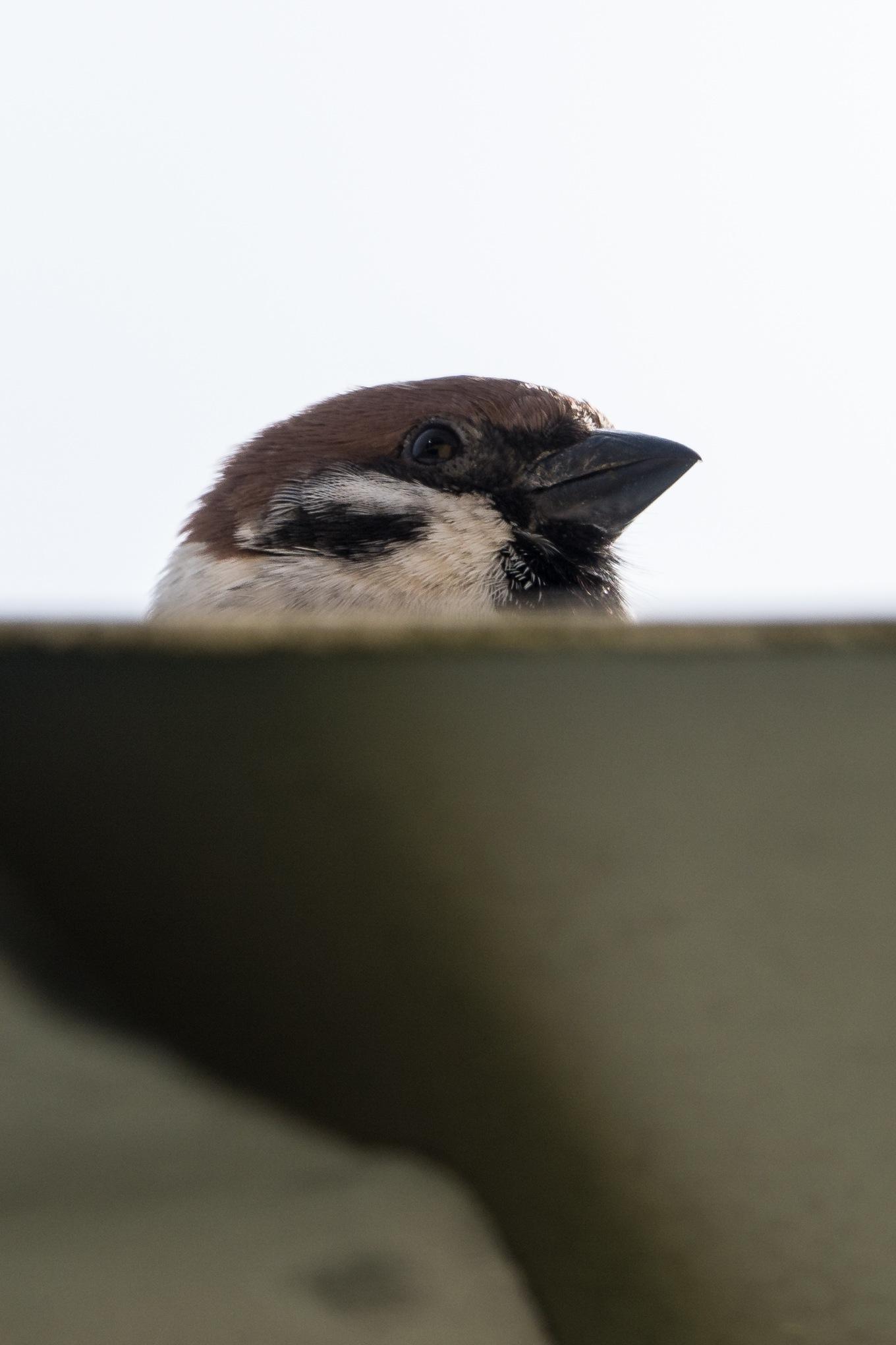 Photo in Animal #bird #fågel #pilfink