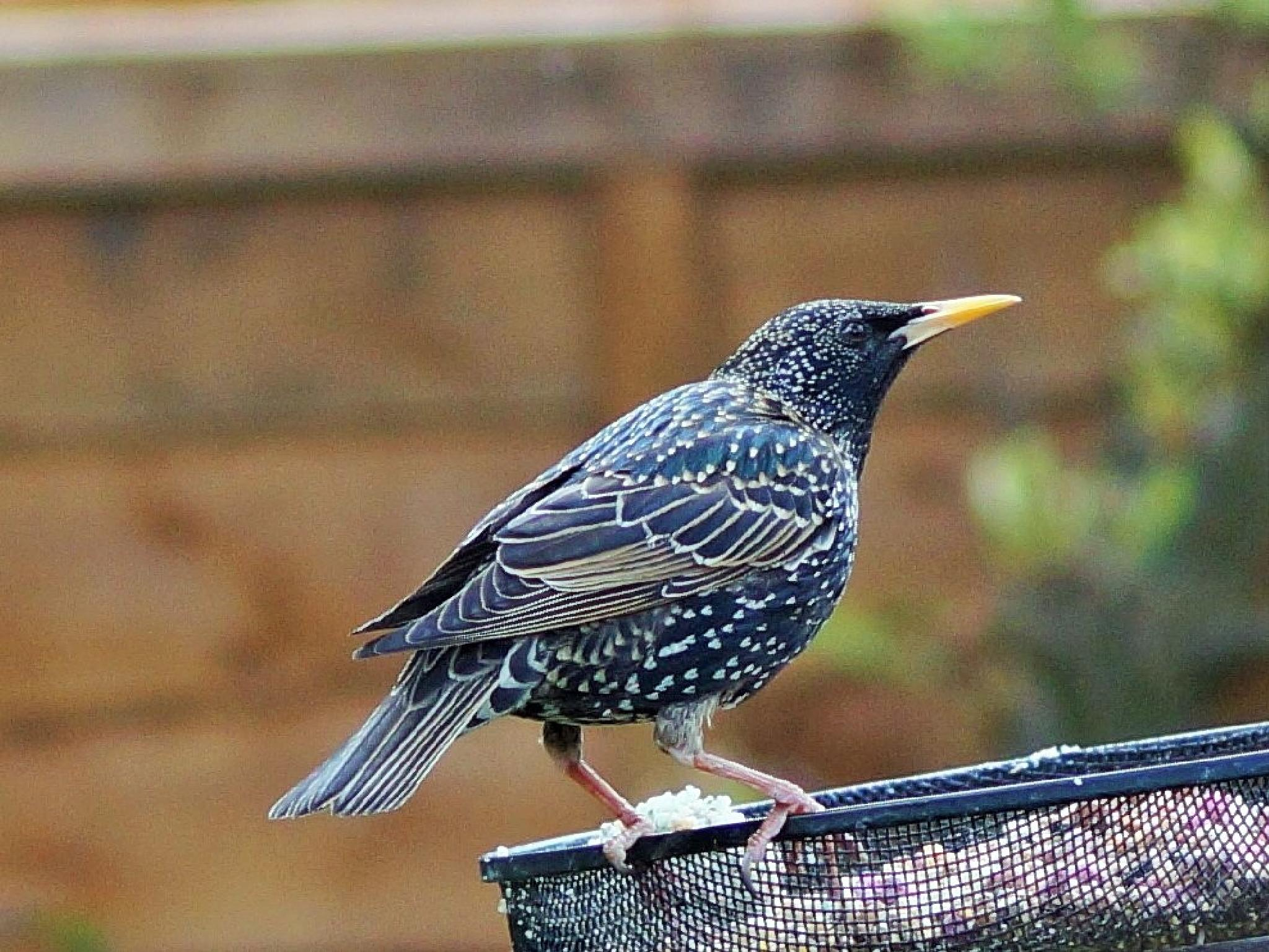 starling by claypole55