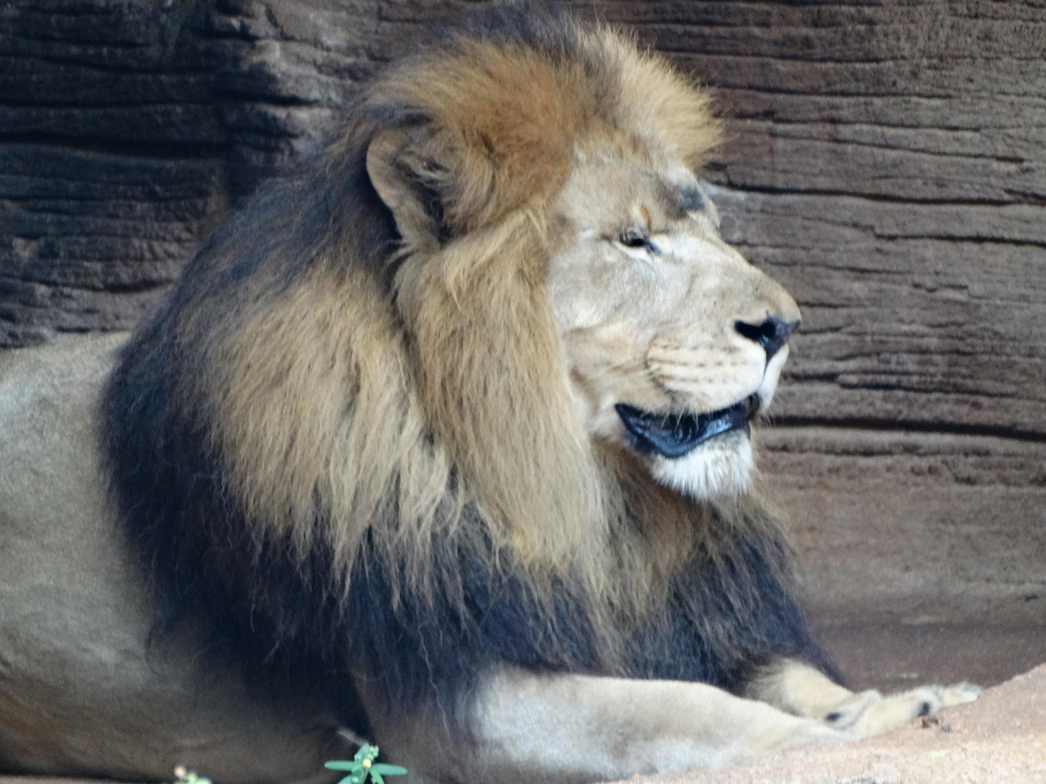 Regal Lion by rgoohs1