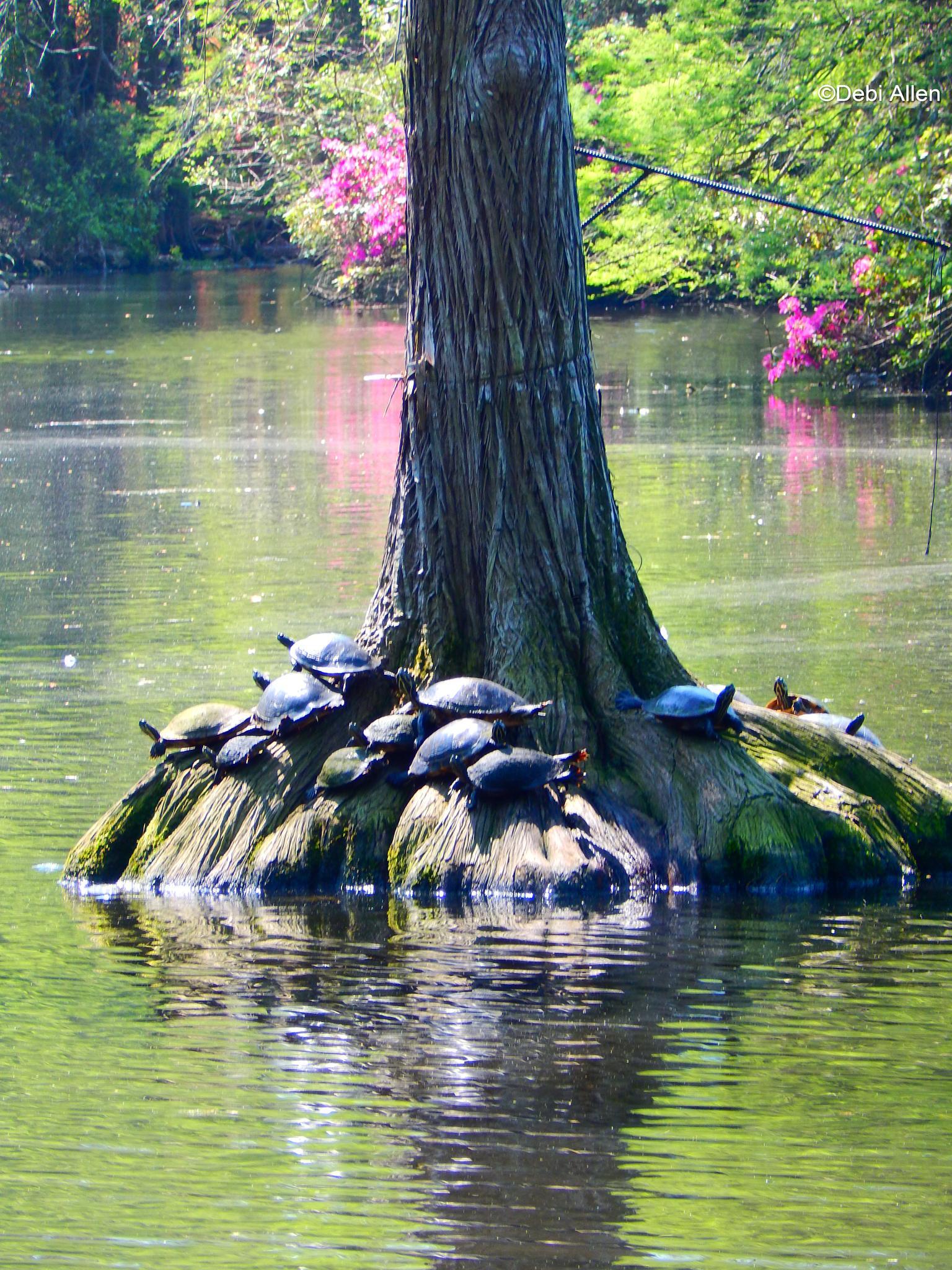 Sunning Turtles by debi.allen1