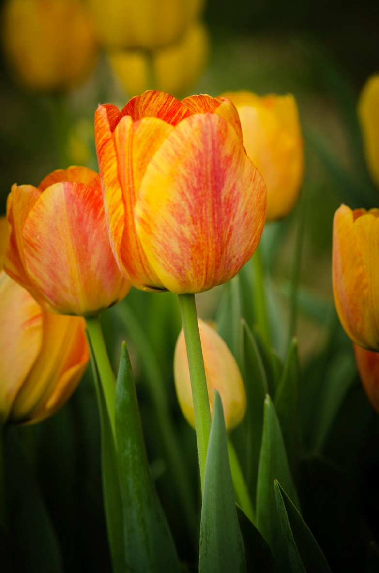 Tip Toe Through The Tulips by Pazzophoto