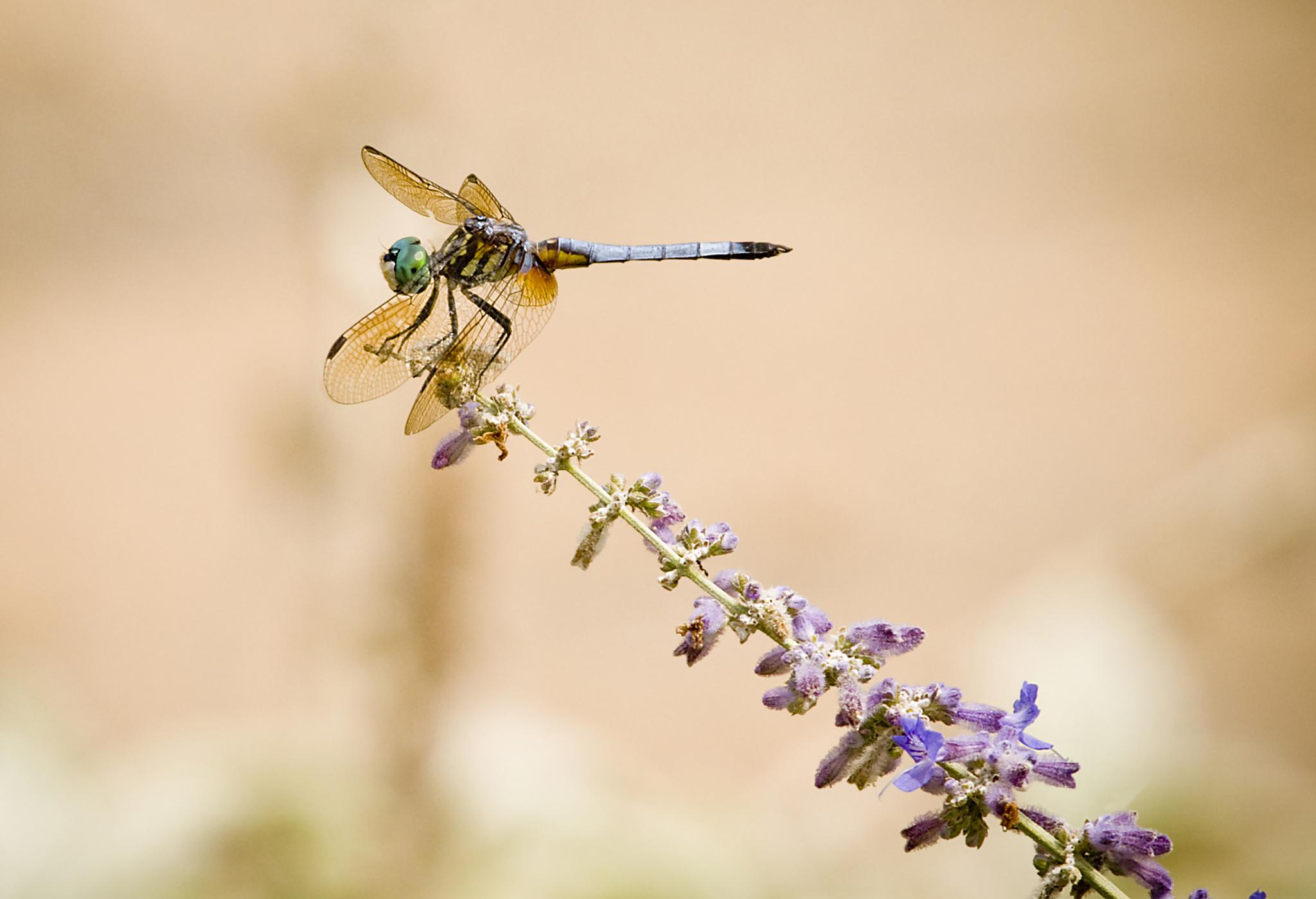 dragon fly by Pazzophoto