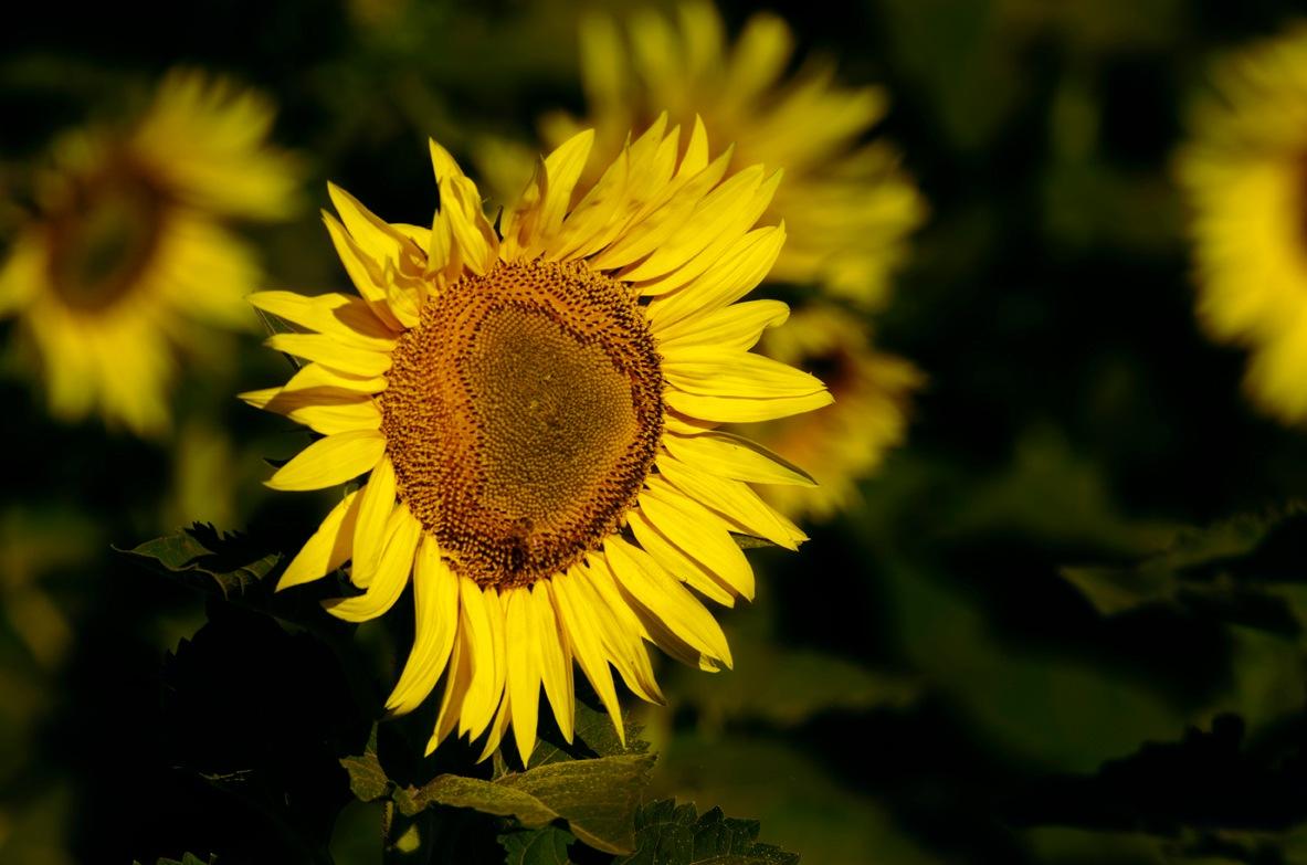 sunflower by Pazzophoto