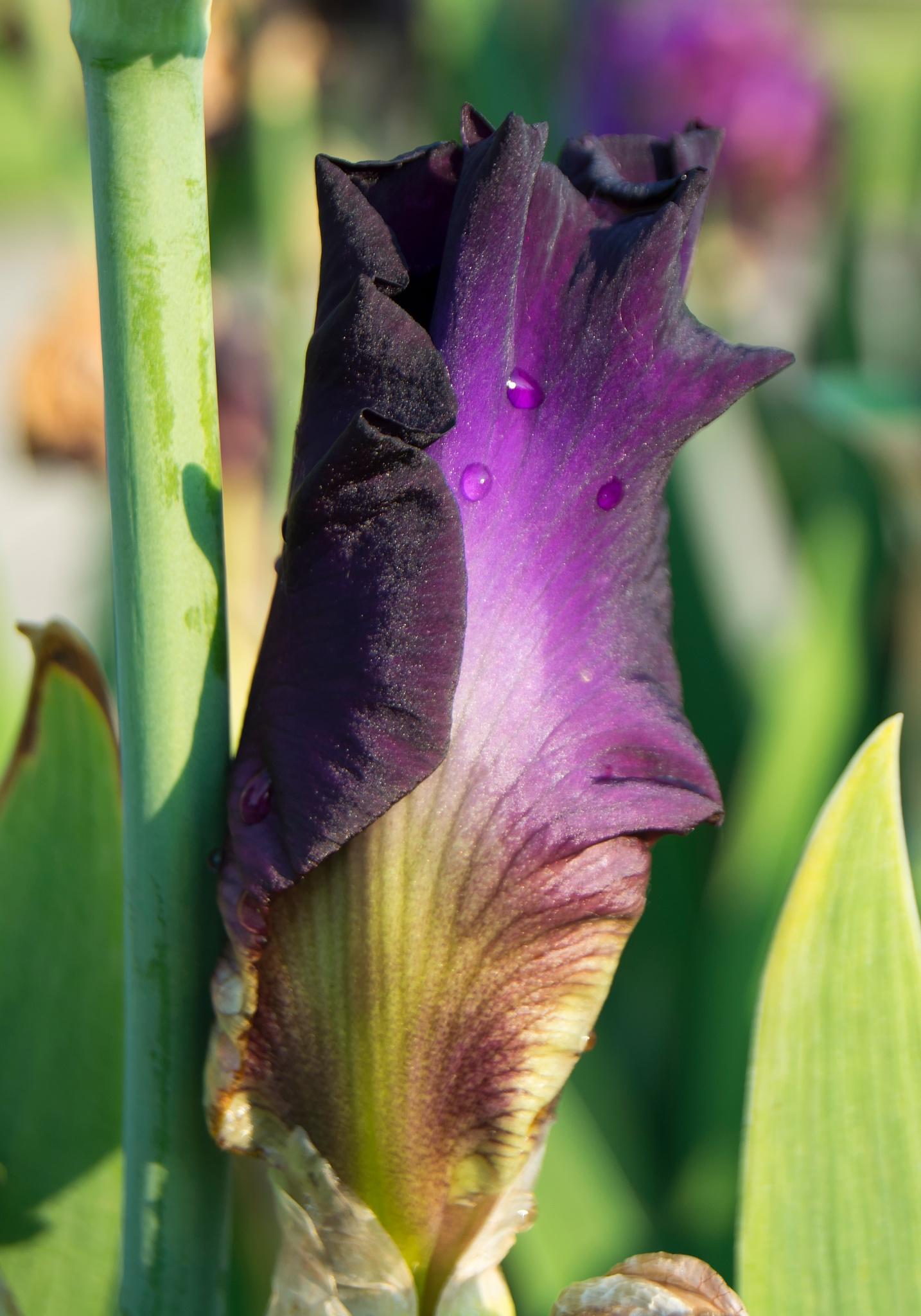 Iris Bud by lori.collinsherrmann