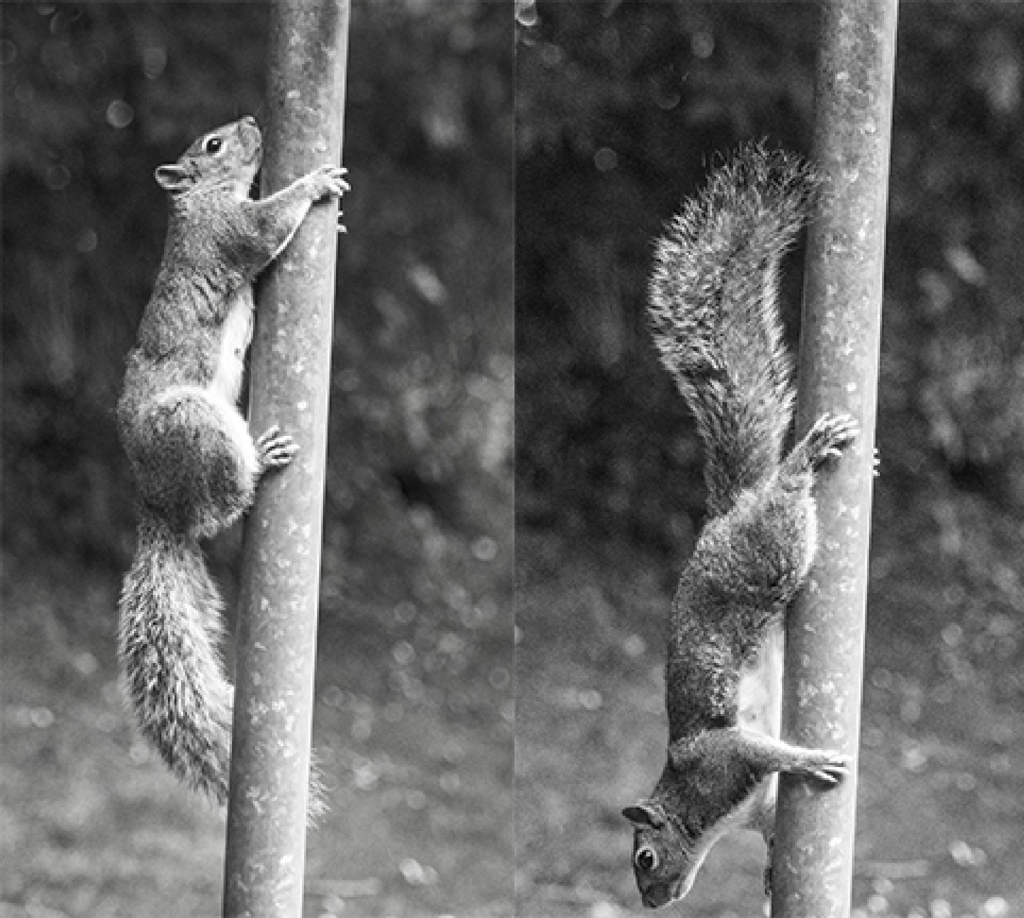 Photo in Animal #up #down #black #white #squirrel