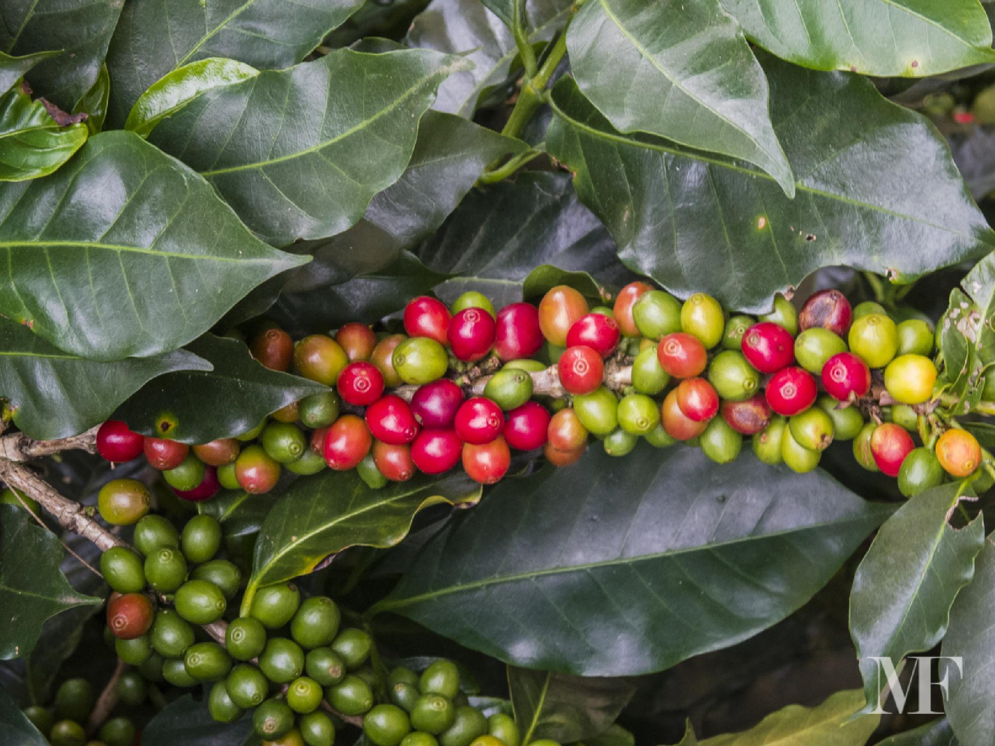 Coffee plantation in Costa Rica 02 by moreno faina