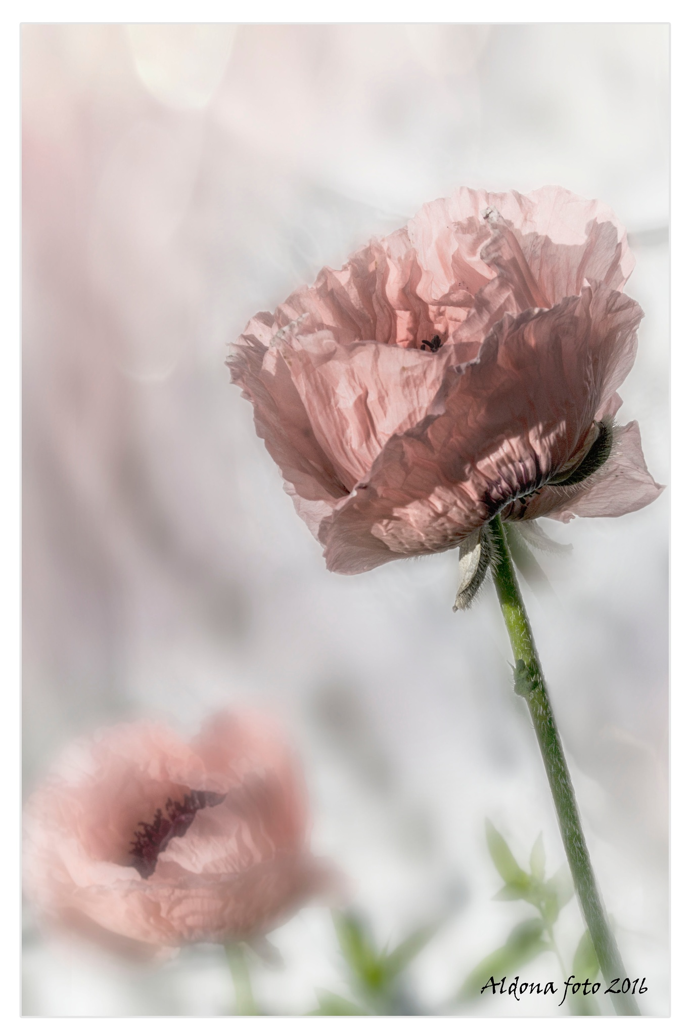 Photo in Fine Art #poppy #flower #pink #white