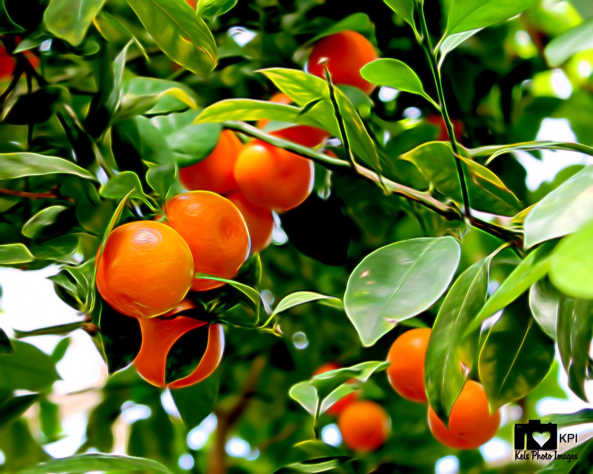 Orange Tree by kconkling