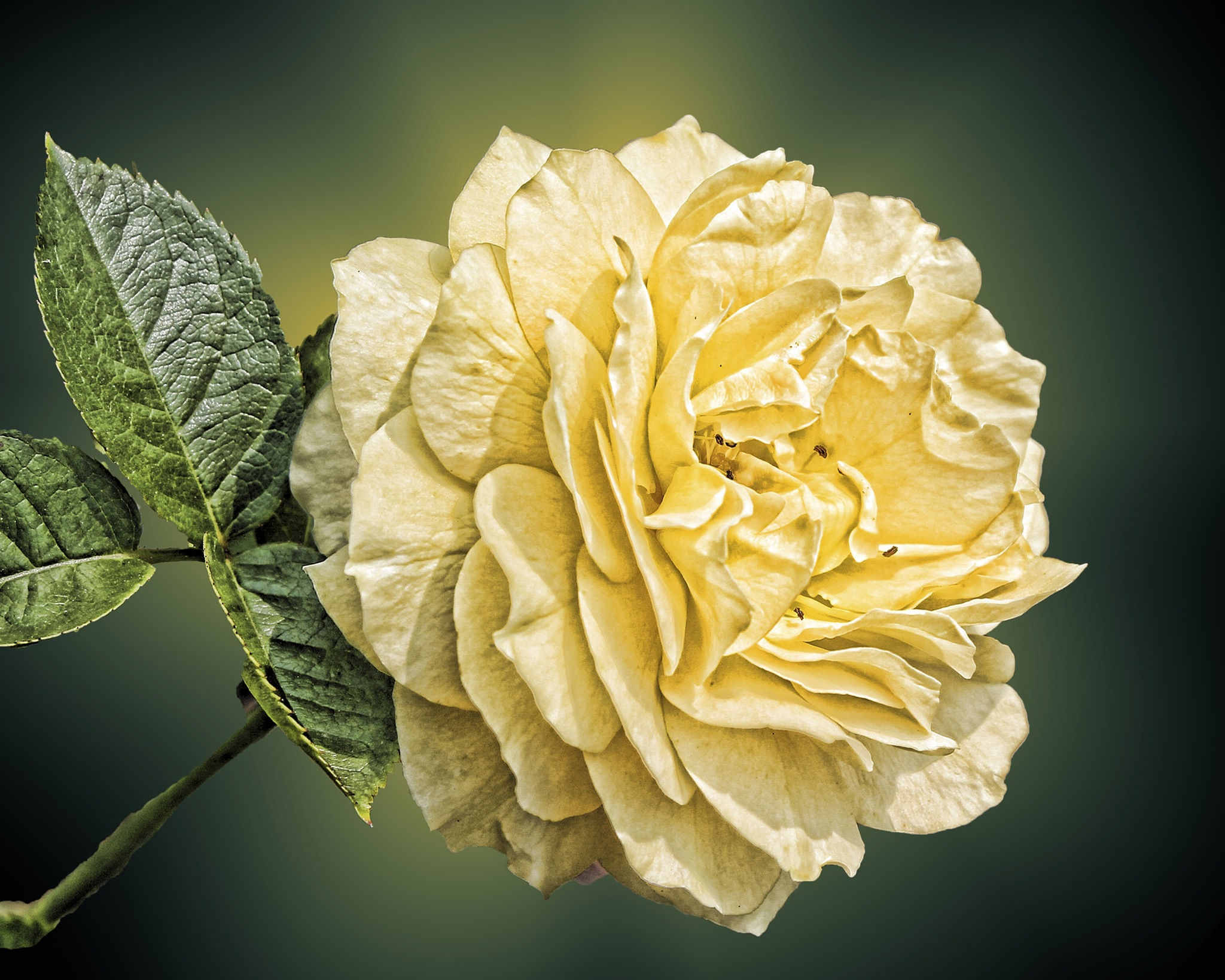 Yellow Rose by kconkling