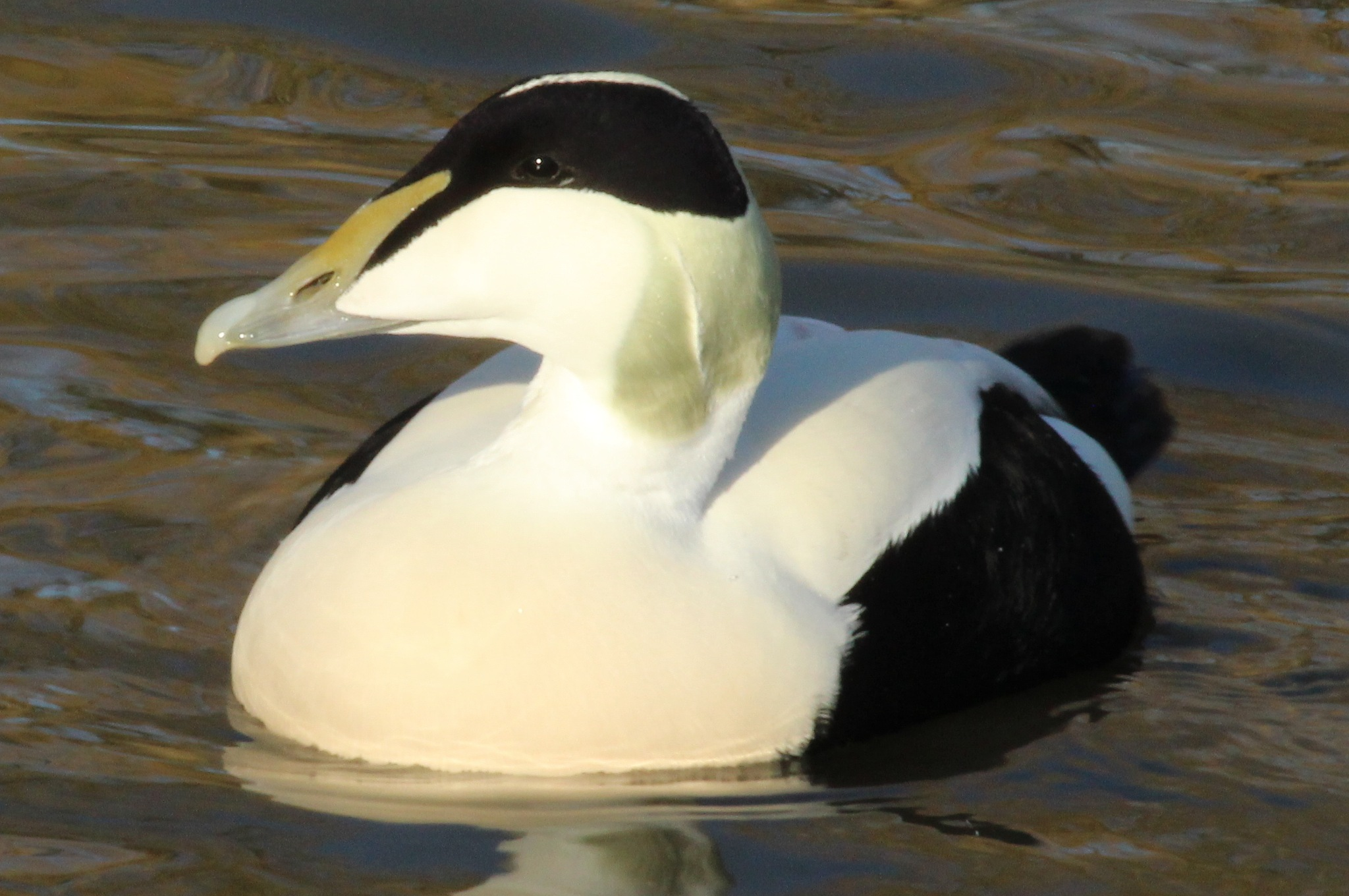 Male Eider Duck by cliff.tolley.7