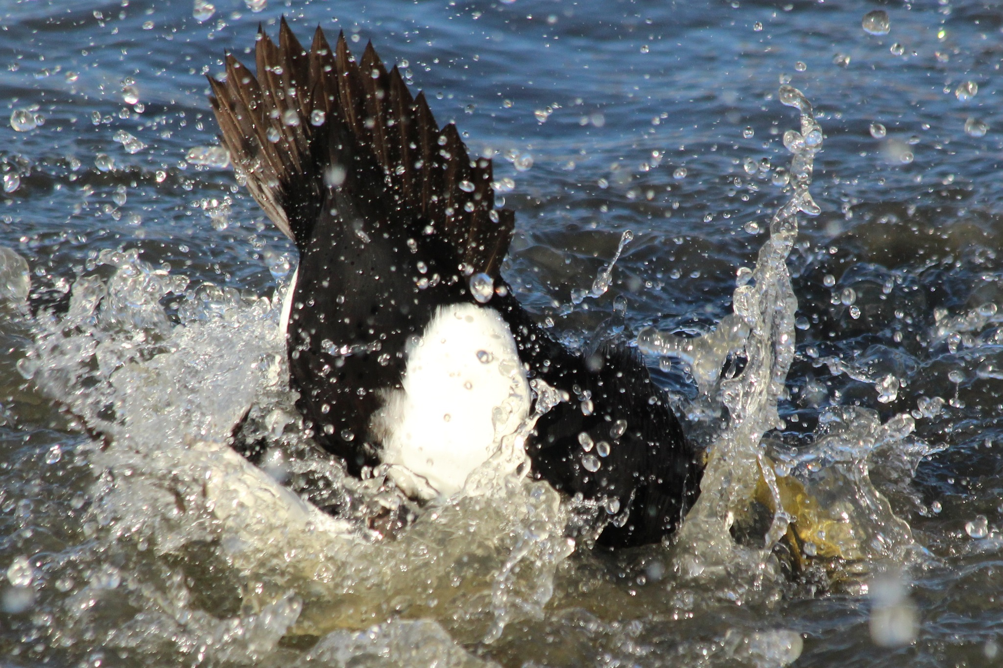 Male Eider Duck doing a dissappearing act. by cliff.tolley.7