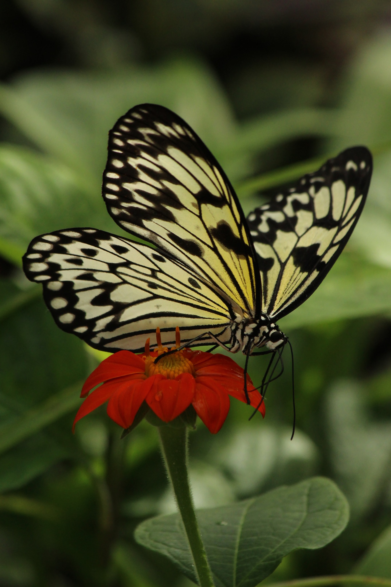 Tree Nymph Butterfly (Idea leuconoe) by cliff.tolley.7