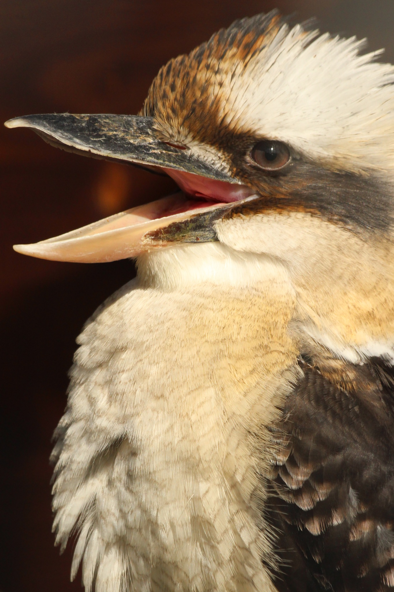 Laughing Kookaburra by cliff.tolley.7