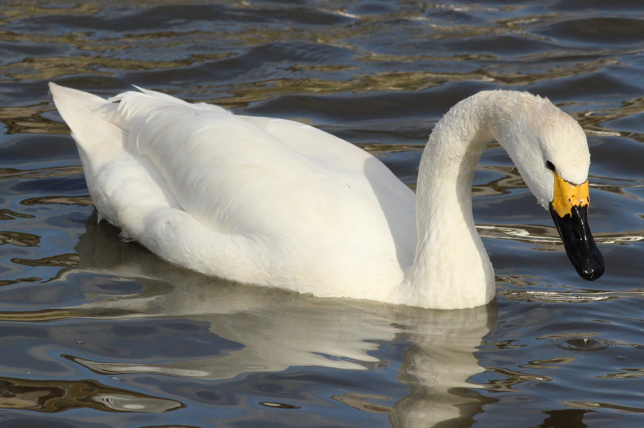 A beautiful Bewicks Swan. by cliff.tolley.7