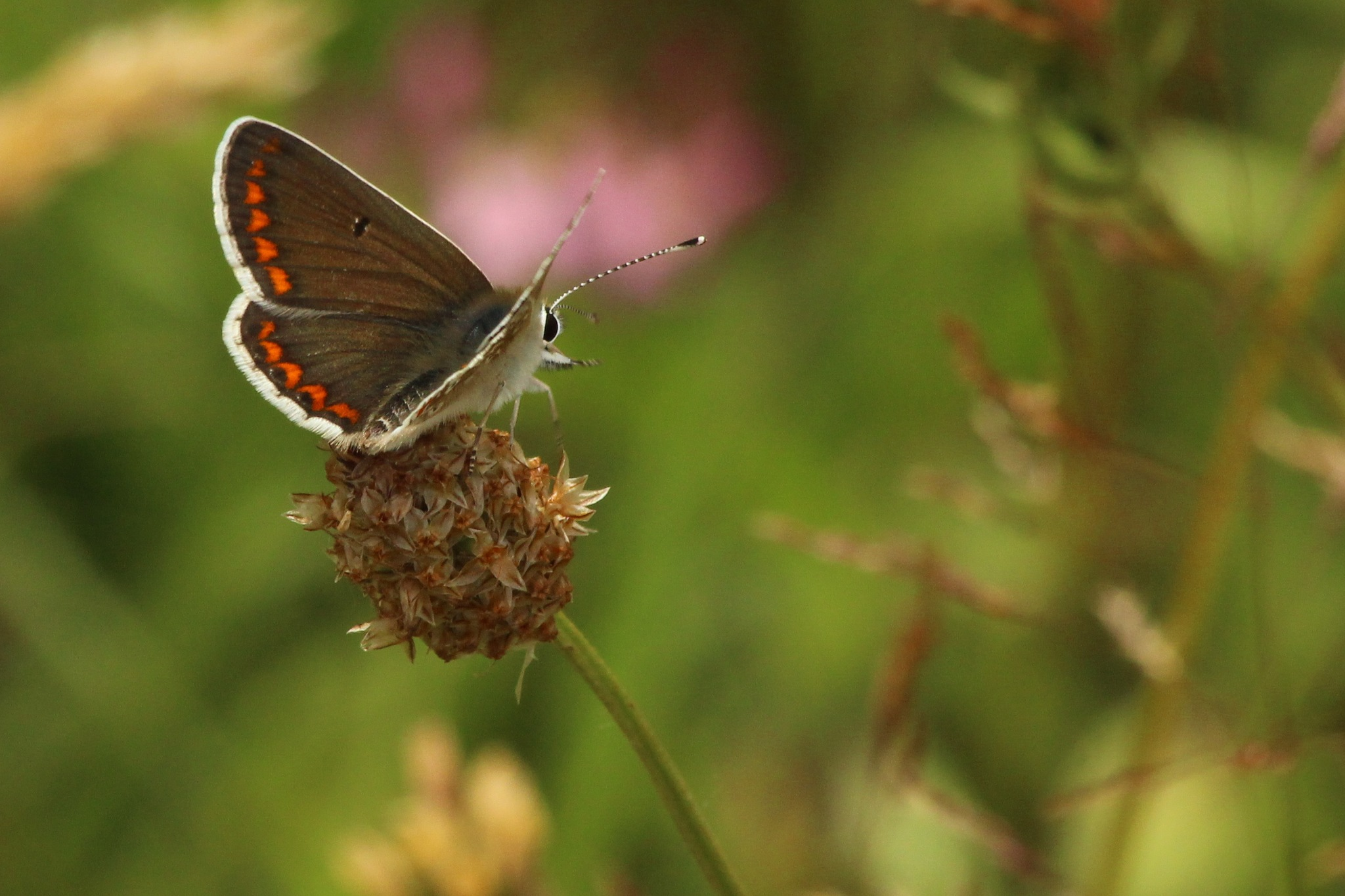 Brown Argus Butterfly. by cliff.tolley.7