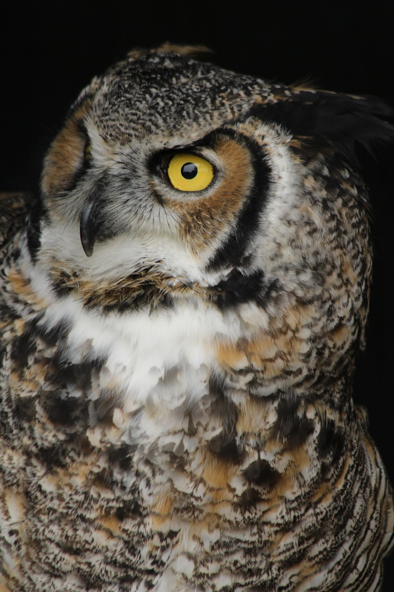 Strong, Silent and Deadly.... Great Horned Owl. by cliff.tolley.7