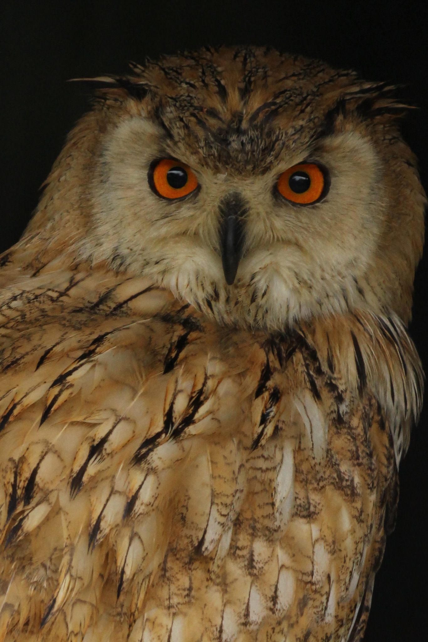 European Eagle Owl. by cliff.tolley.7
