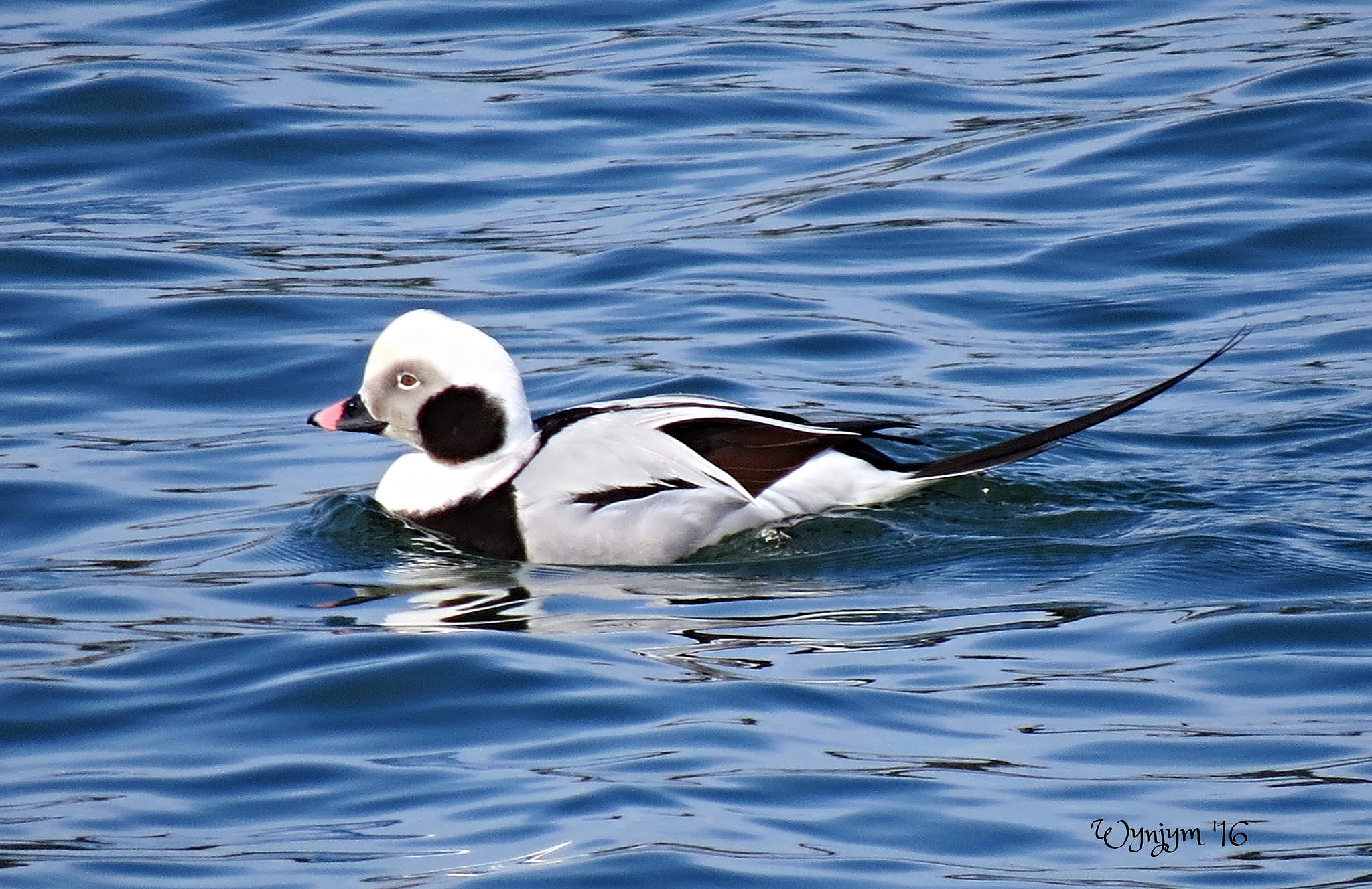 Longtailed duck in winter clothes ...  by Wynjym ChrisNP