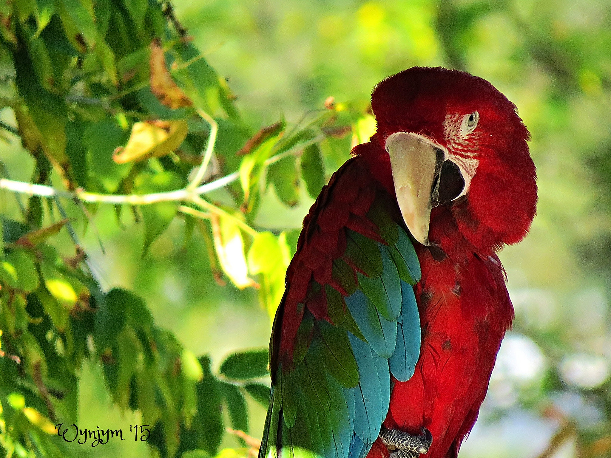 Green-winged Macaw by Wynjym ChrisNP