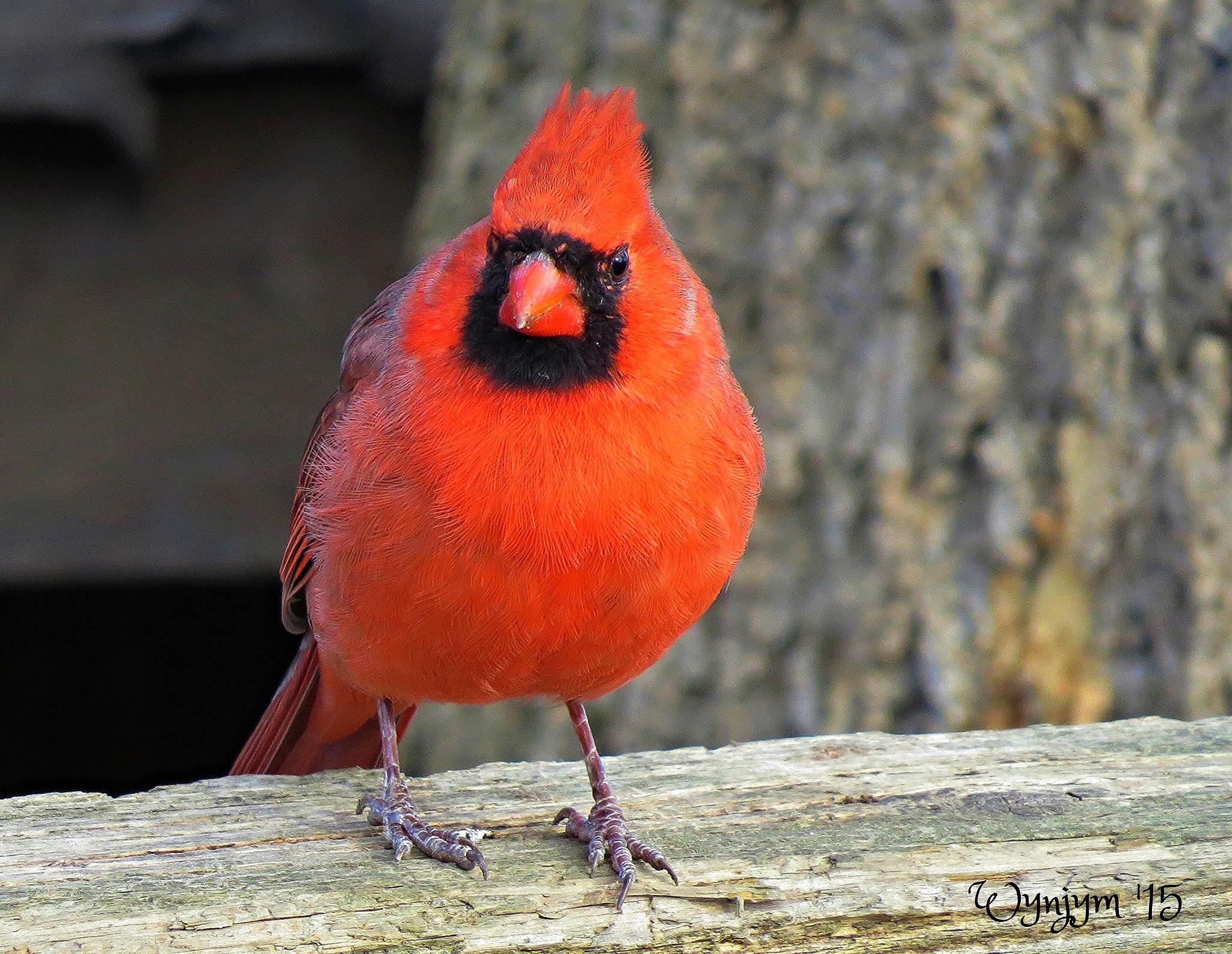 Northern Cardinal by Wynjym ChrisNP