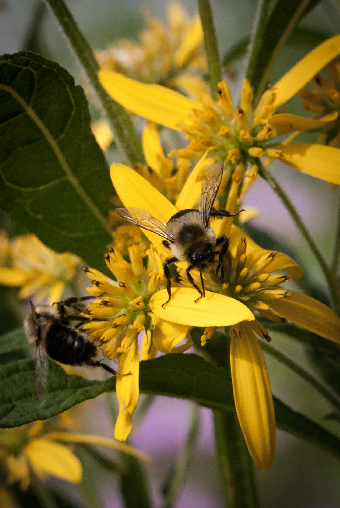 Double Bumble by mgrphotography
