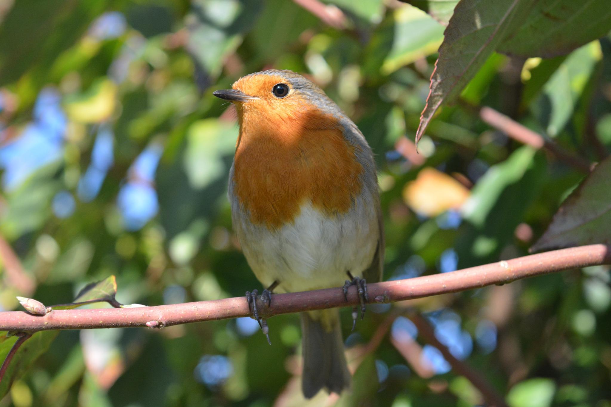 Robin by Ronan Feehan