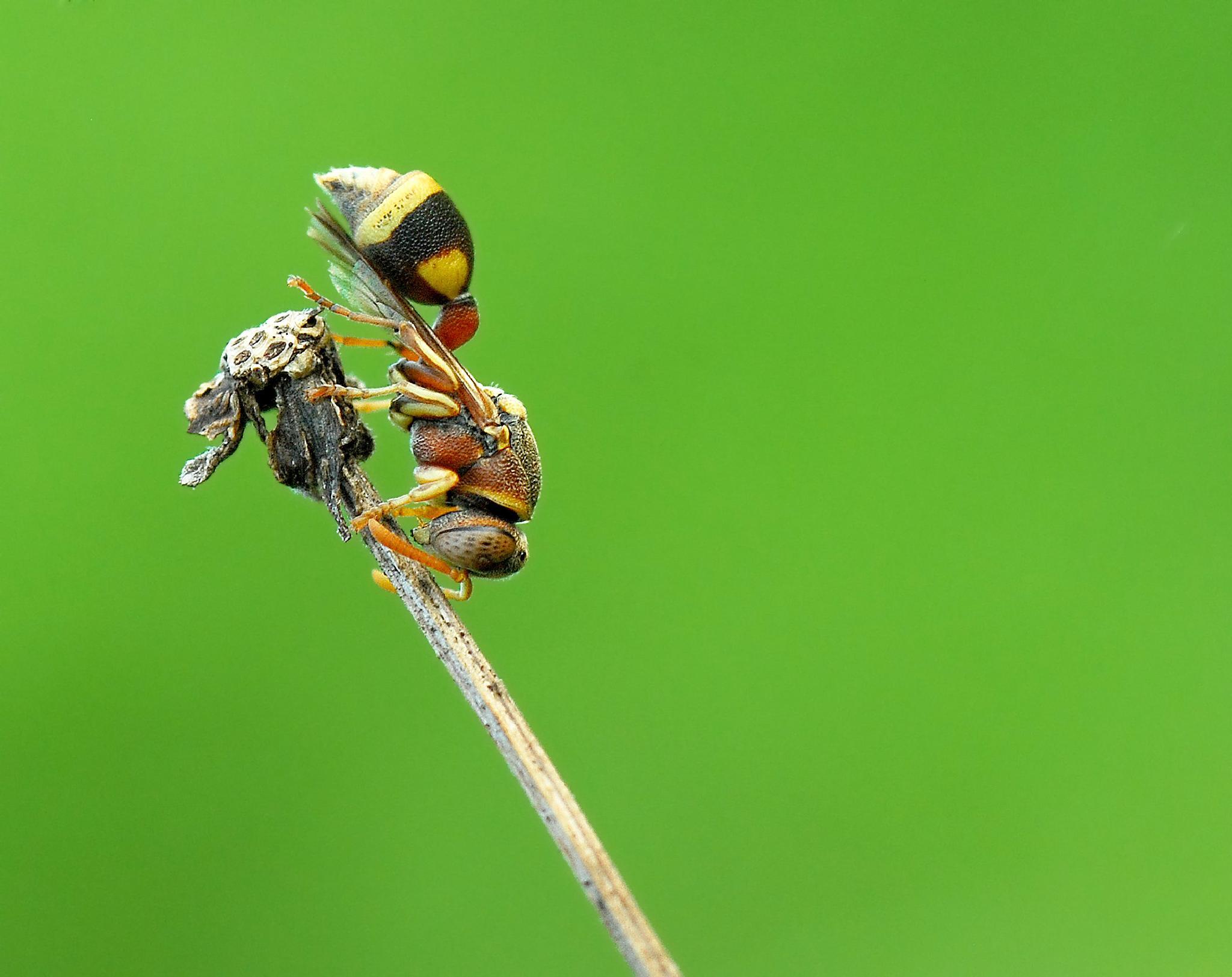 Wasp by ujang wahyudin
