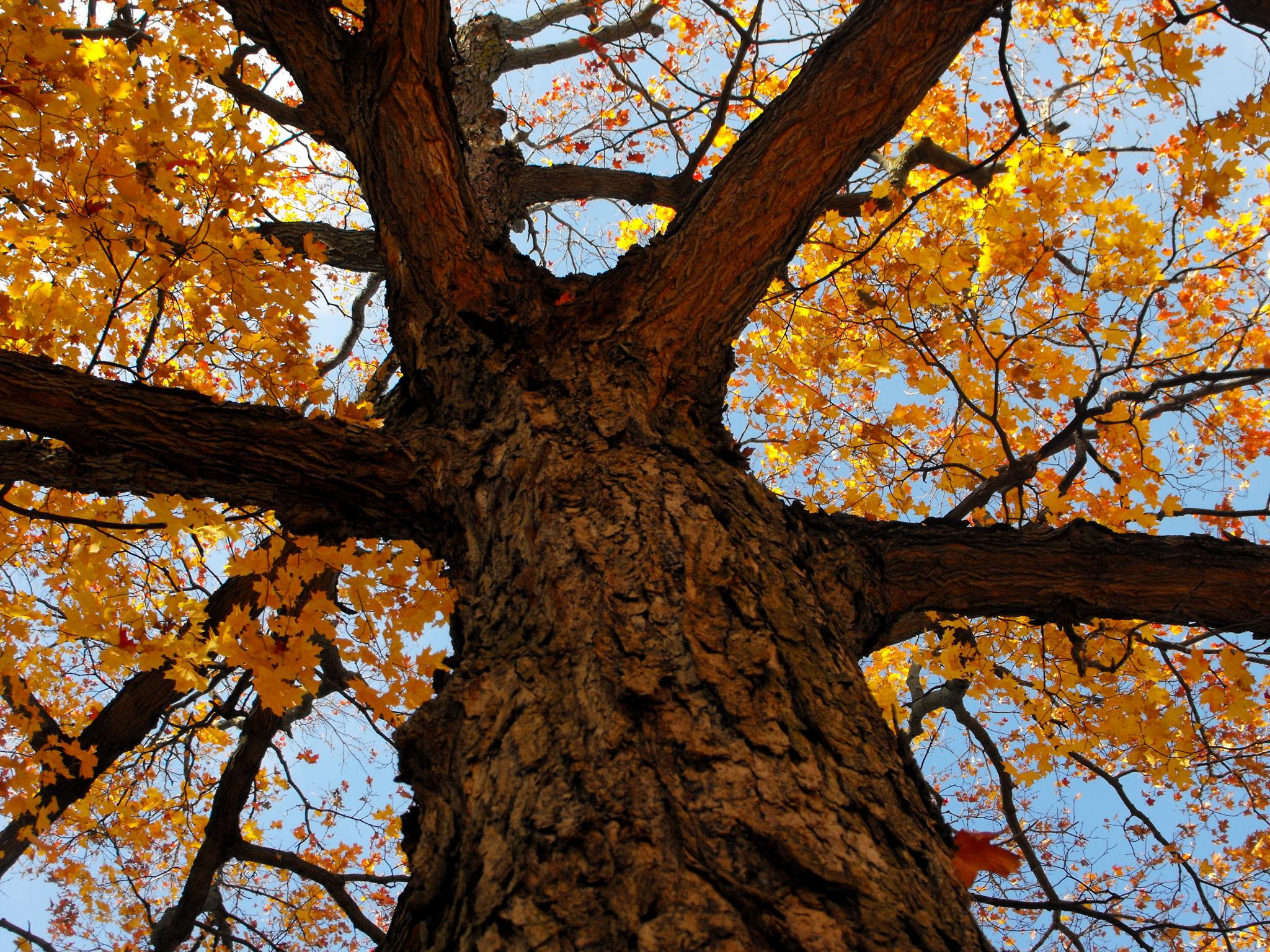 Sky Through Maple by Mary Cyr