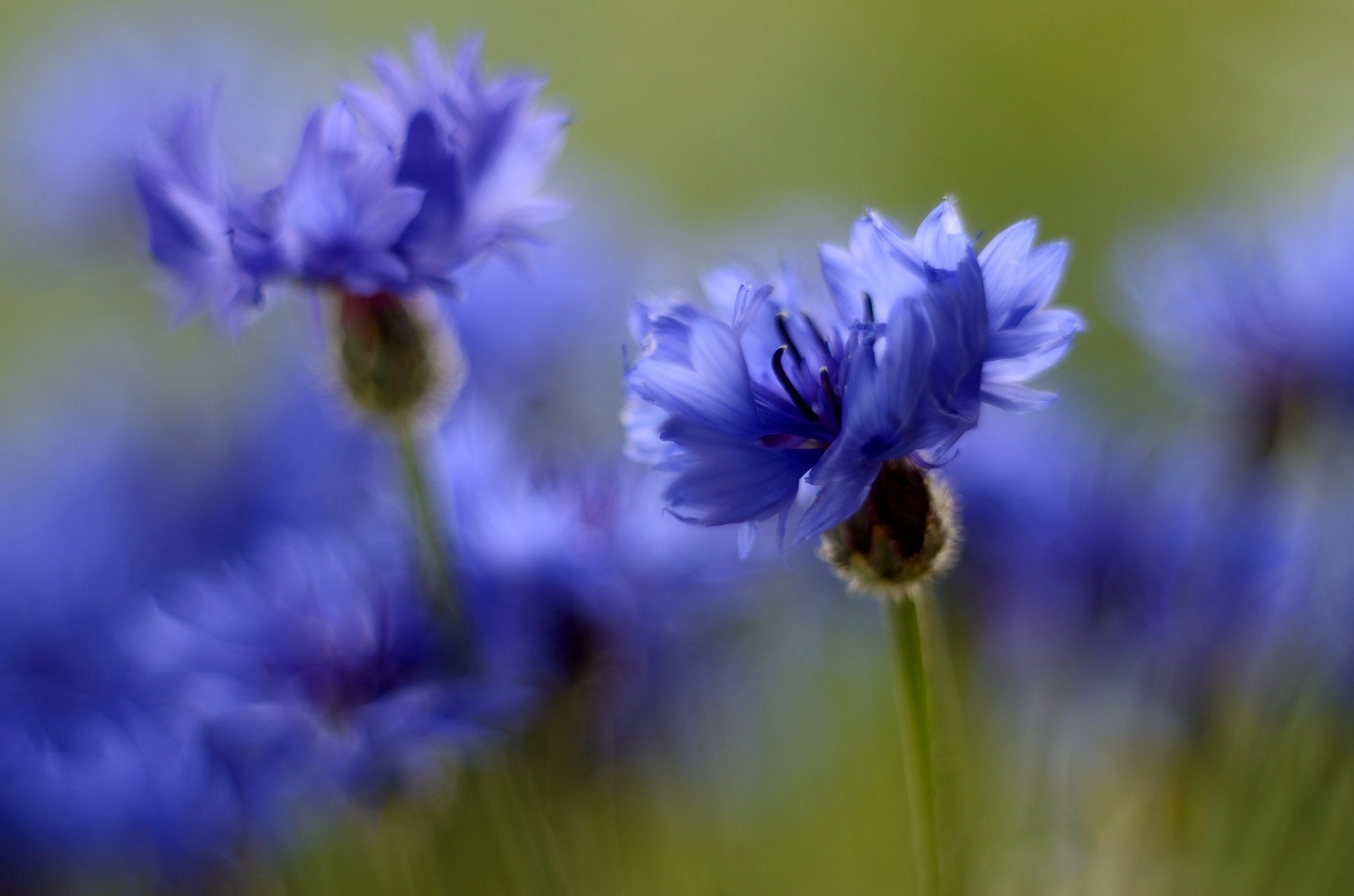 The cornflowers by habibi27