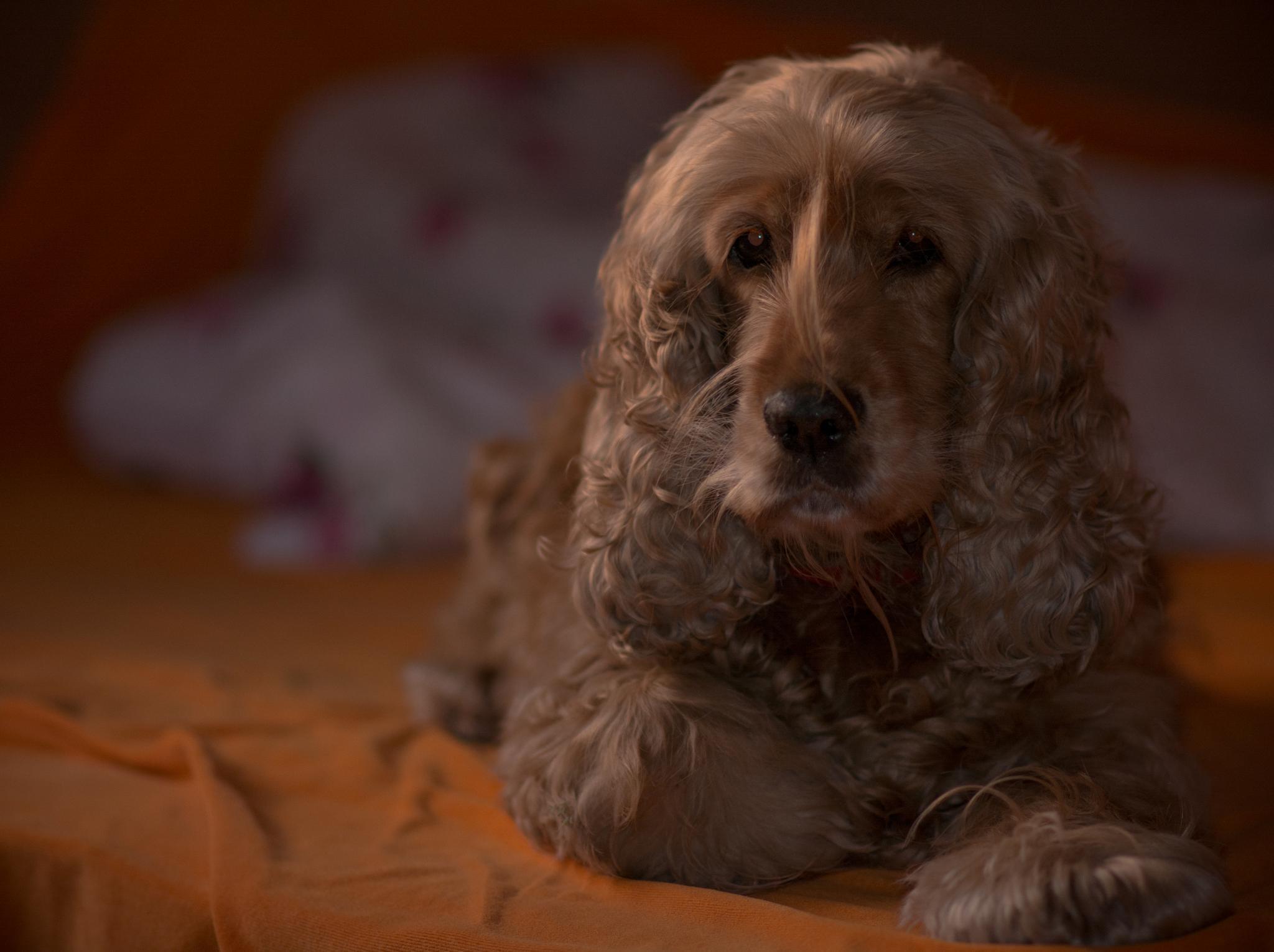 Photo in Animal #dog #animal #gold #cockerspaniel #cute #love #model #pet #beautiful
